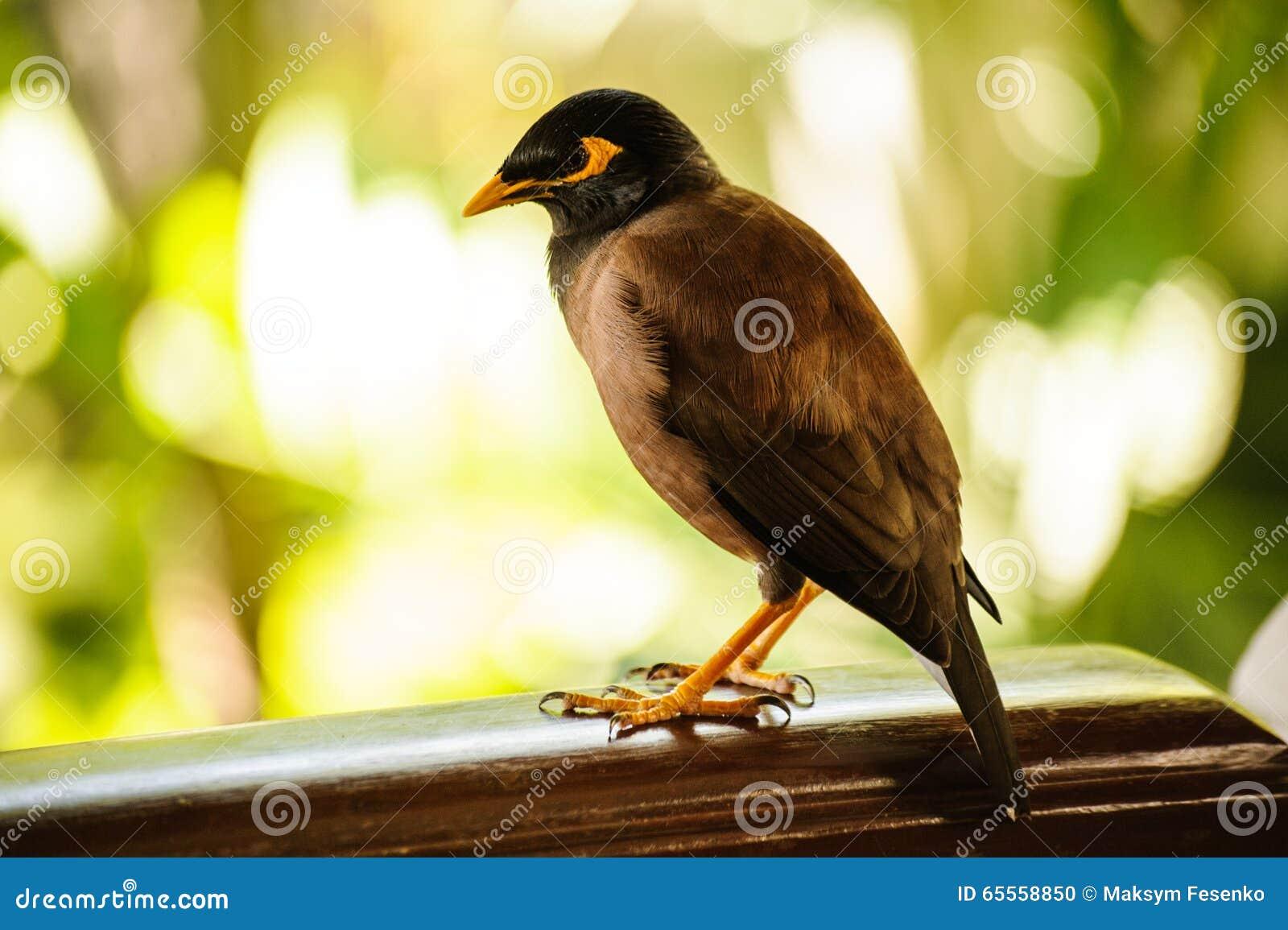 Oiseau de myna commun d 39 asie du sud est photo stock for Oiseau commun