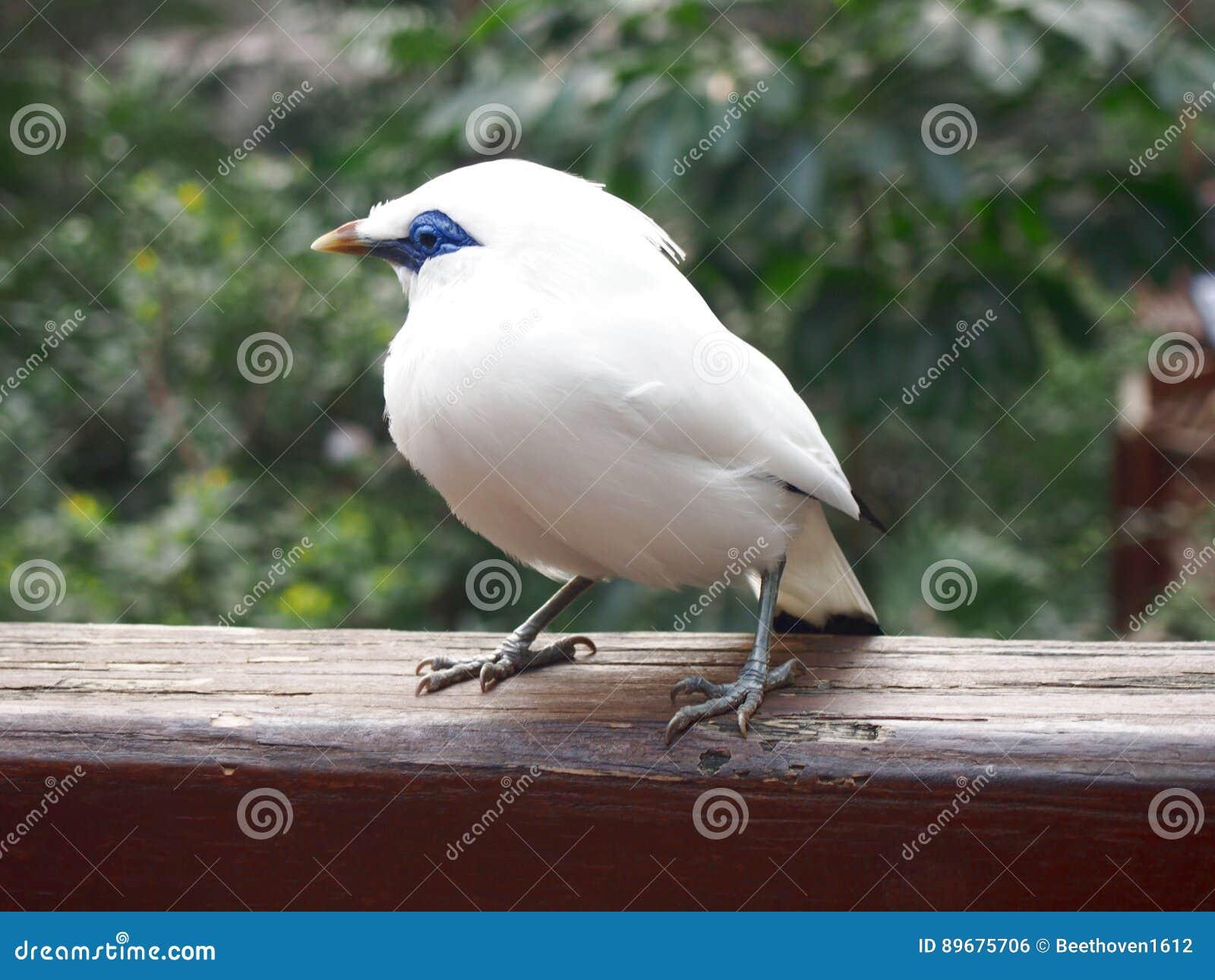 Oiseau de myna de Bali