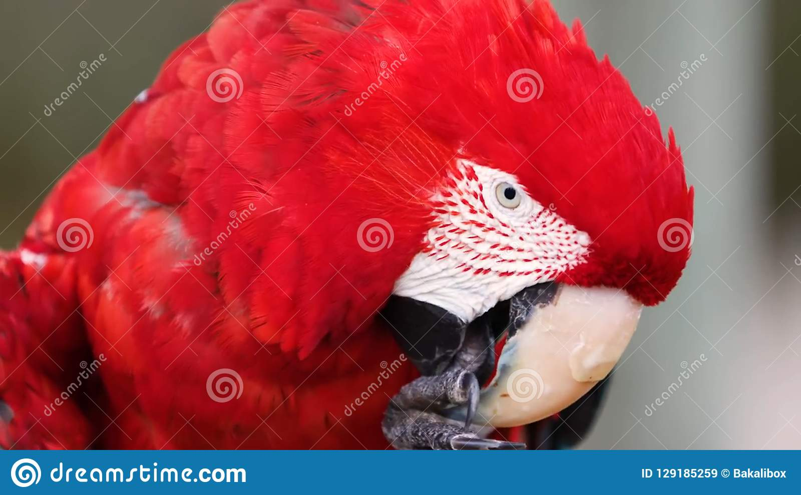 Oiseau de perroquet d ara d écarlate Exotique, vert