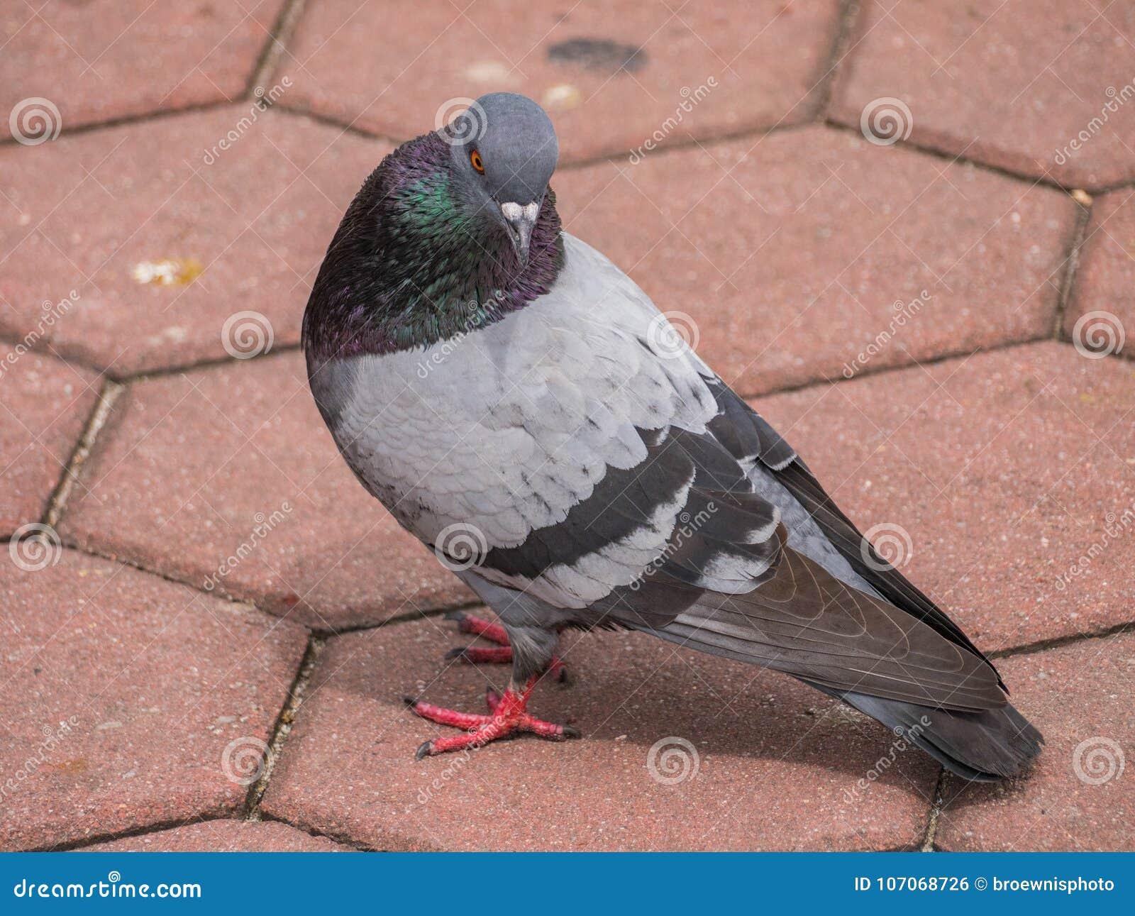 Oiseau de pigeon sur le pavé rond