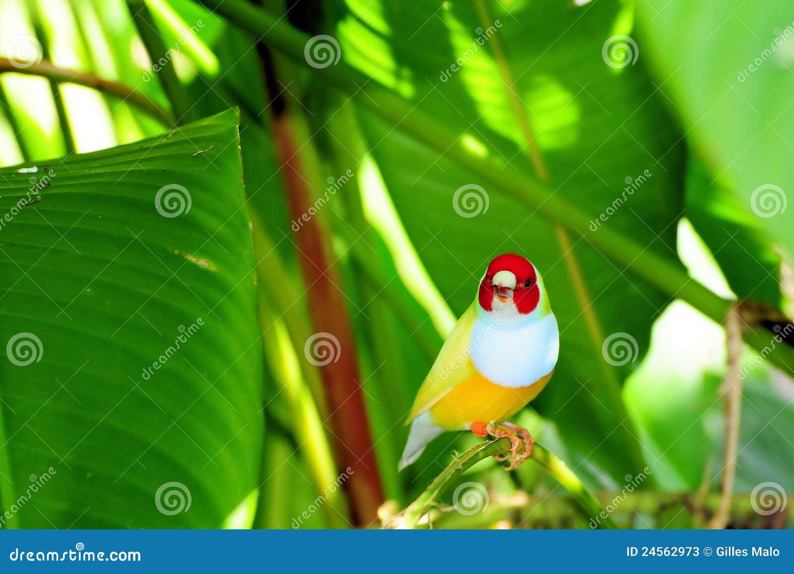Oiseau de pinson de Madame Gouldian