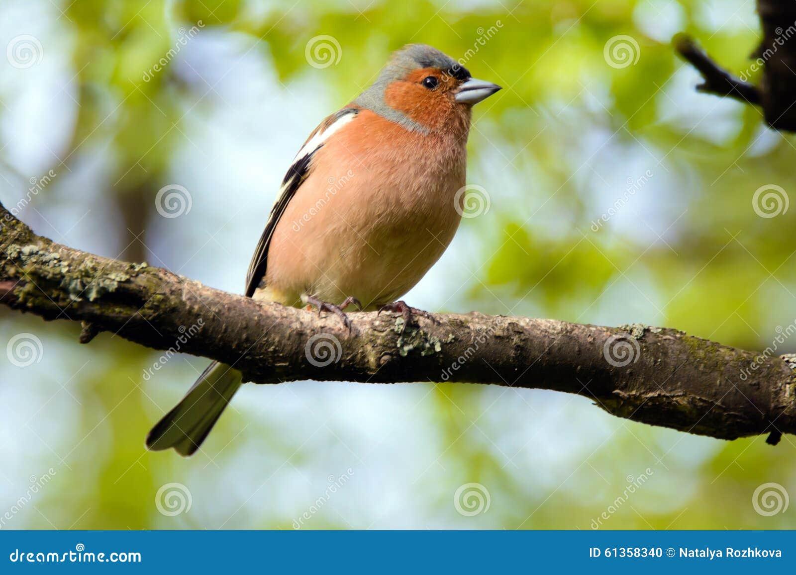 Oiseau de pinson oiseau sur la branche photo stock for Photo oiseau