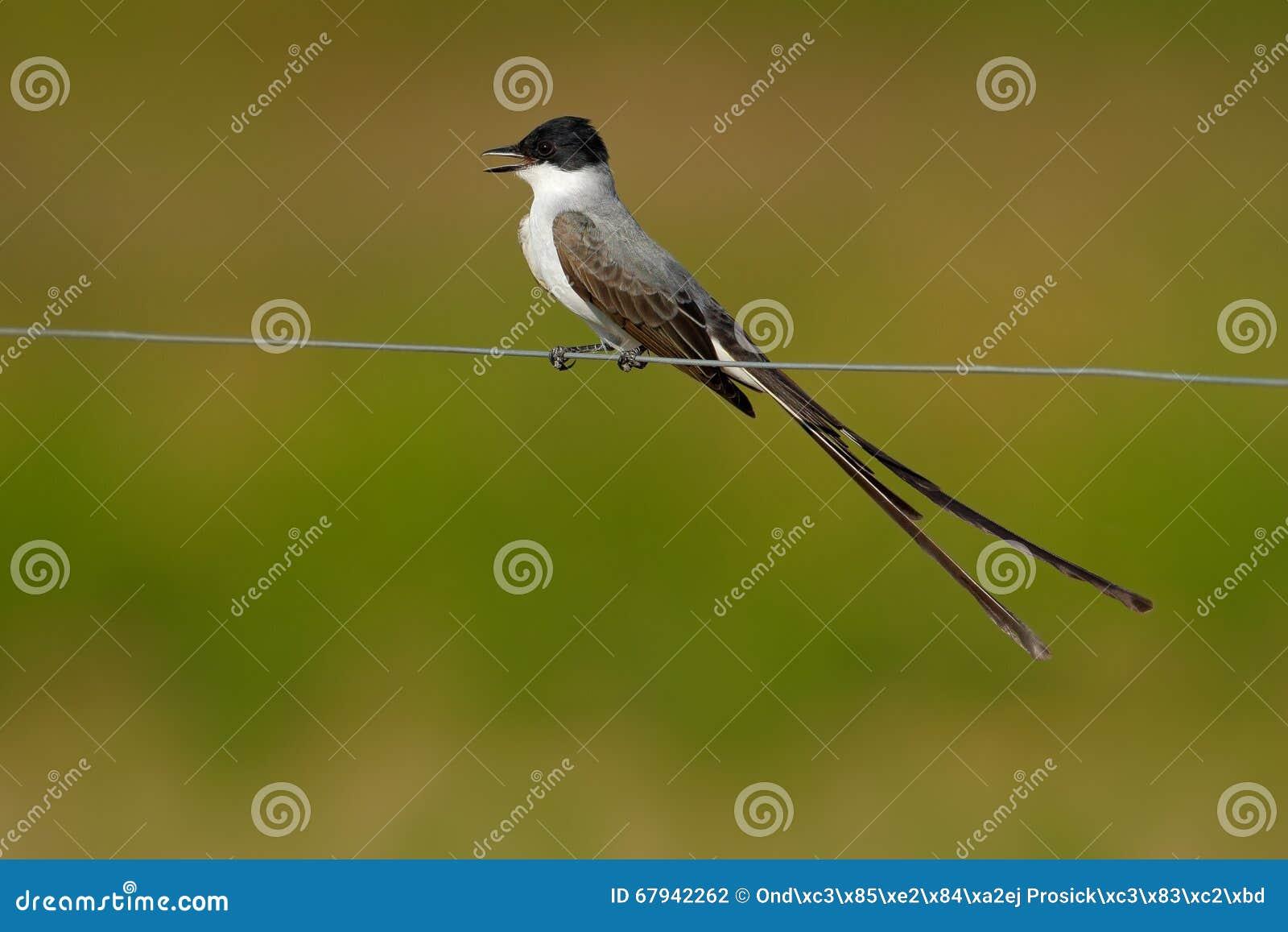 Oiseau de savana fourchette coup la queue de flycatcher for Oiseau noir et gris