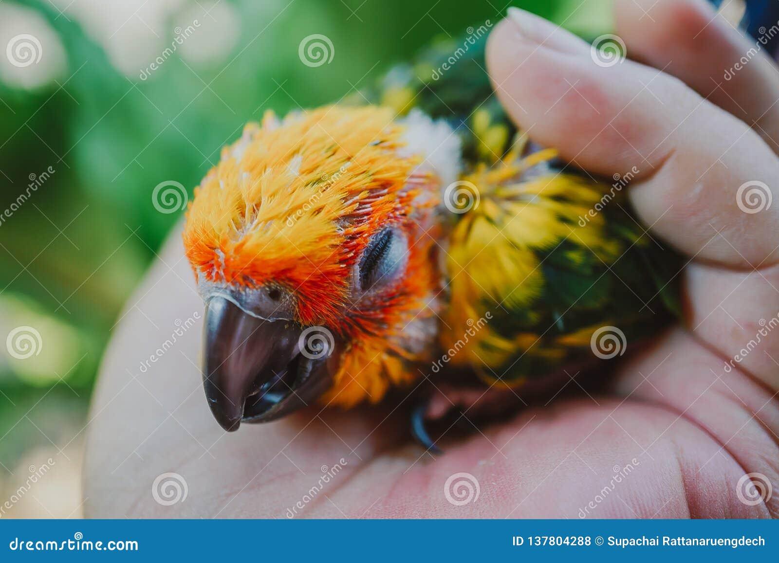 Oiseau de Sun Conure de plan rapproché