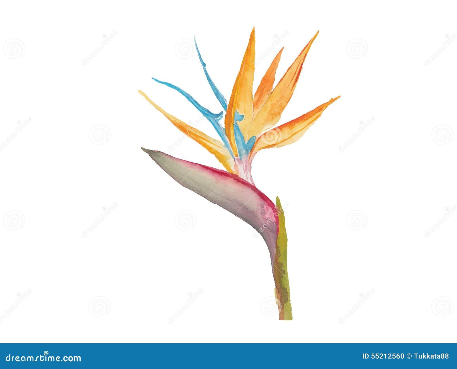 oiseau de vecteur d 39 aquarelle de fleur de paradis. Black Bedroom Furniture Sets. Home Design Ideas