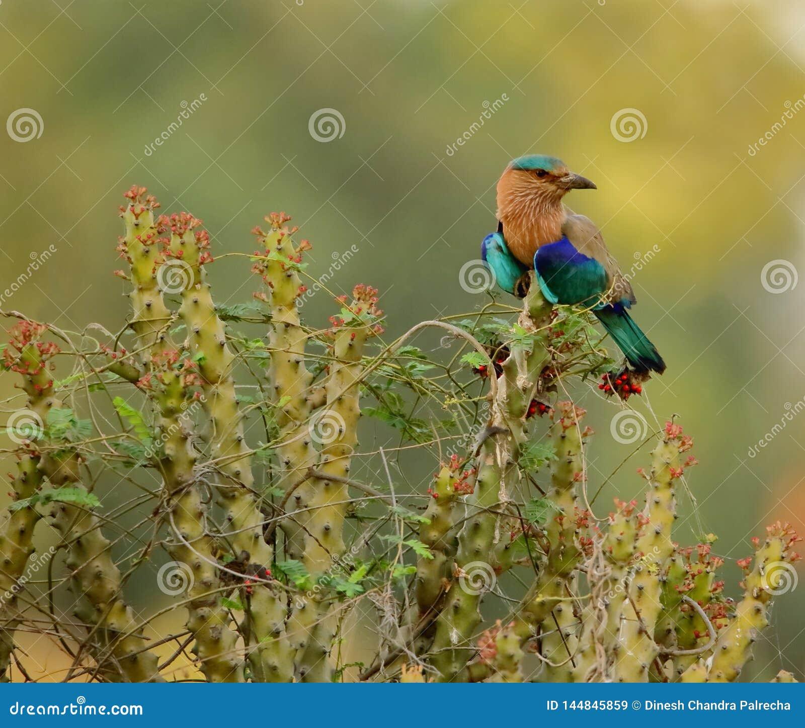 Oiseau indien de rouleau