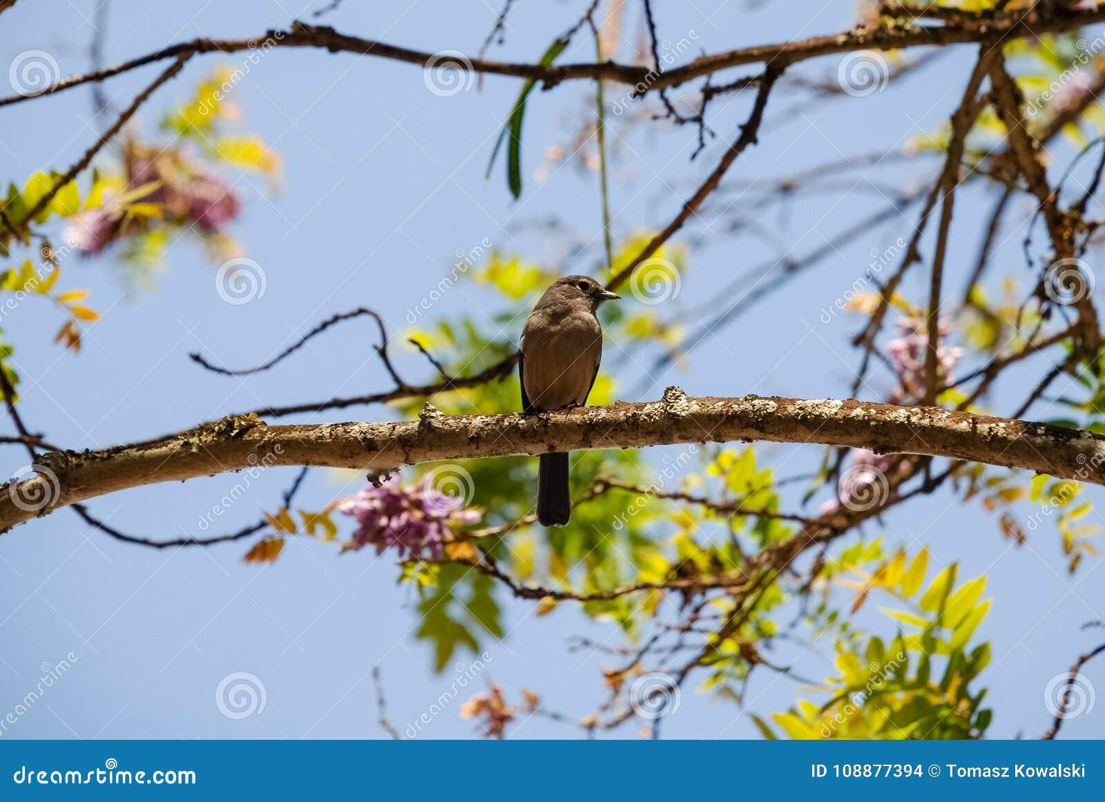Oiseau Kenya Afrique de causerie de Moorland