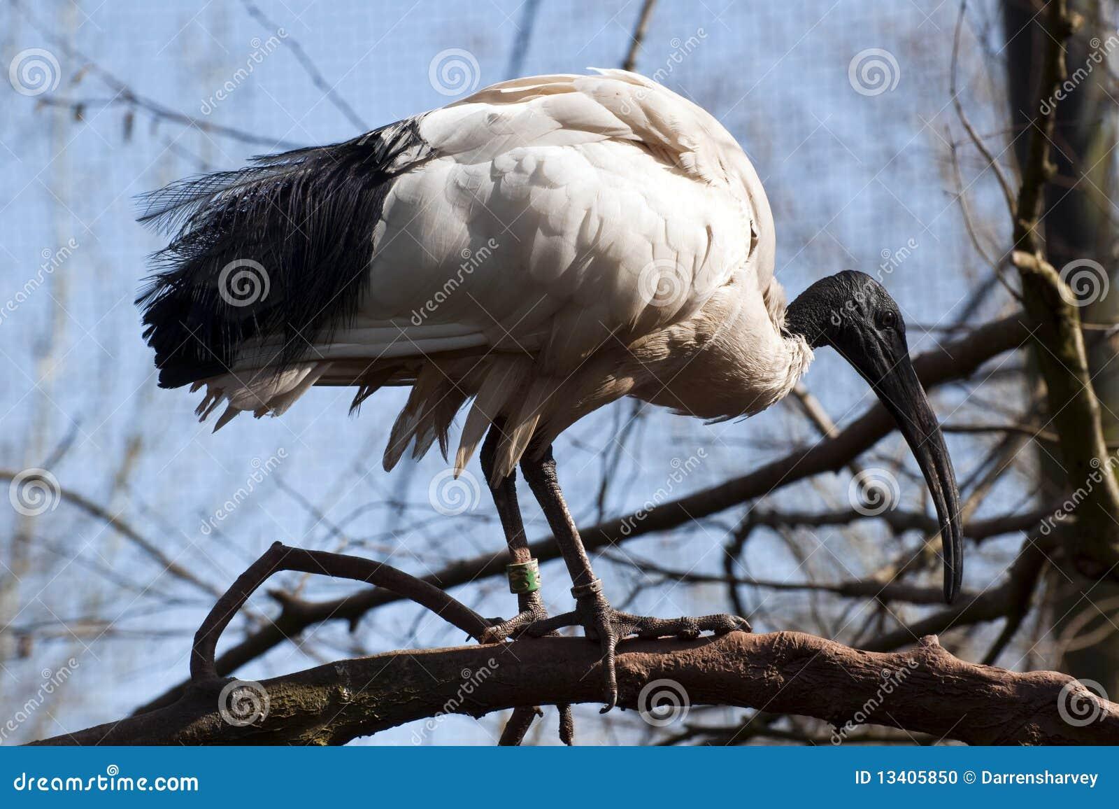 Oiseau laid avec un bec tr s long ibis australien photo for Oiseau a long bec