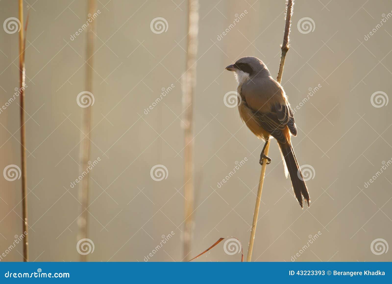 oiseau long coup la queue de pie gri che au n pal photo stock image 43223393. Black Bedroom Furniture Sets. Home Design Ideas