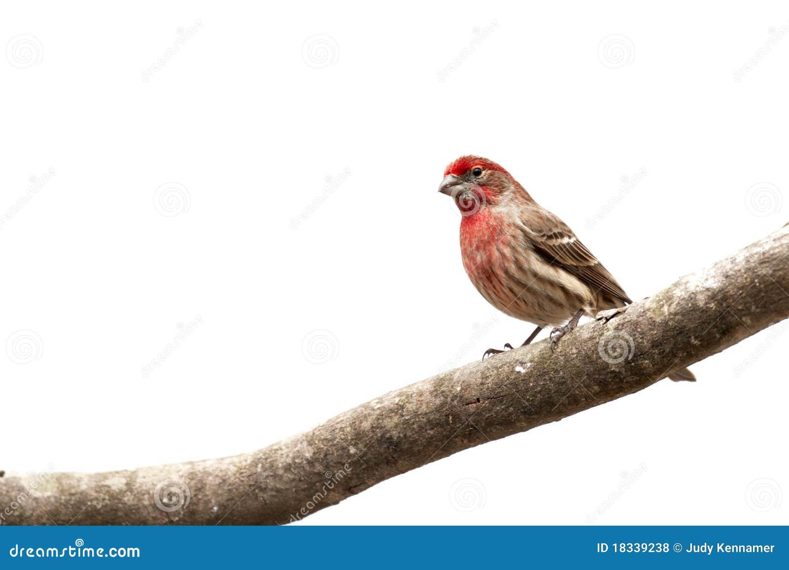 Oiseau mâle de pinson de Chambre sur le membre