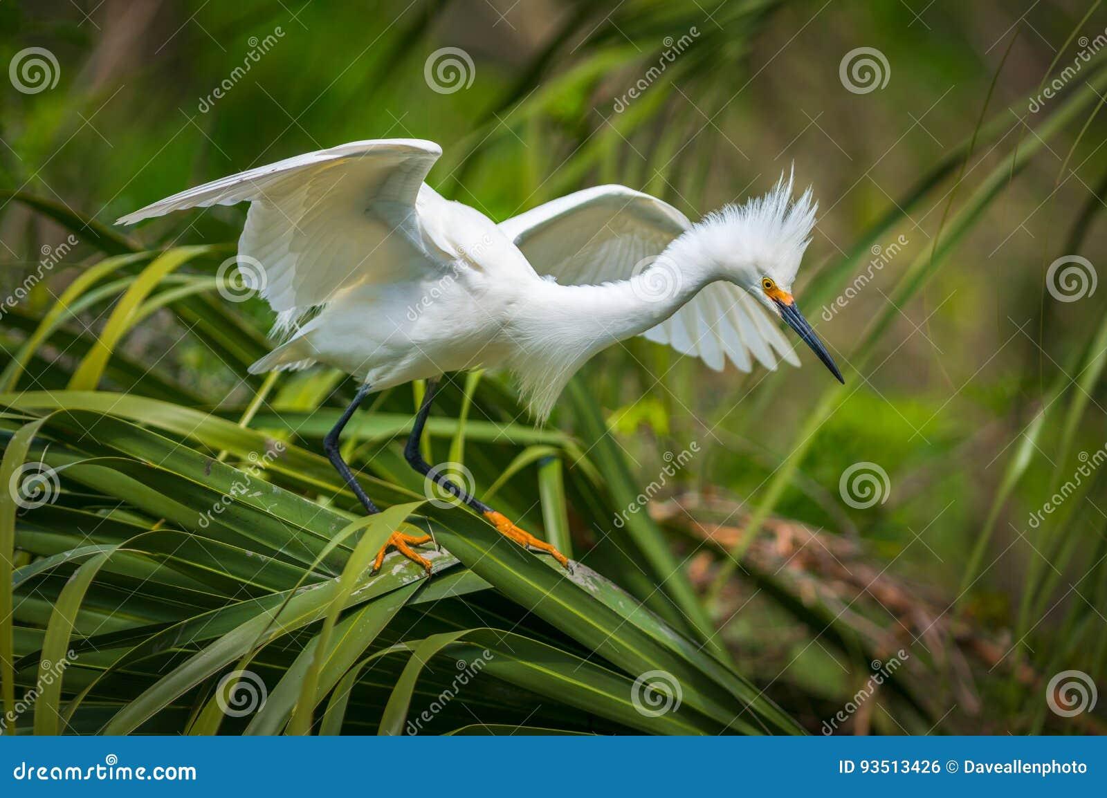 Oiseau migrateur de héron de Milou de faune de la Floride à St Augustine FL