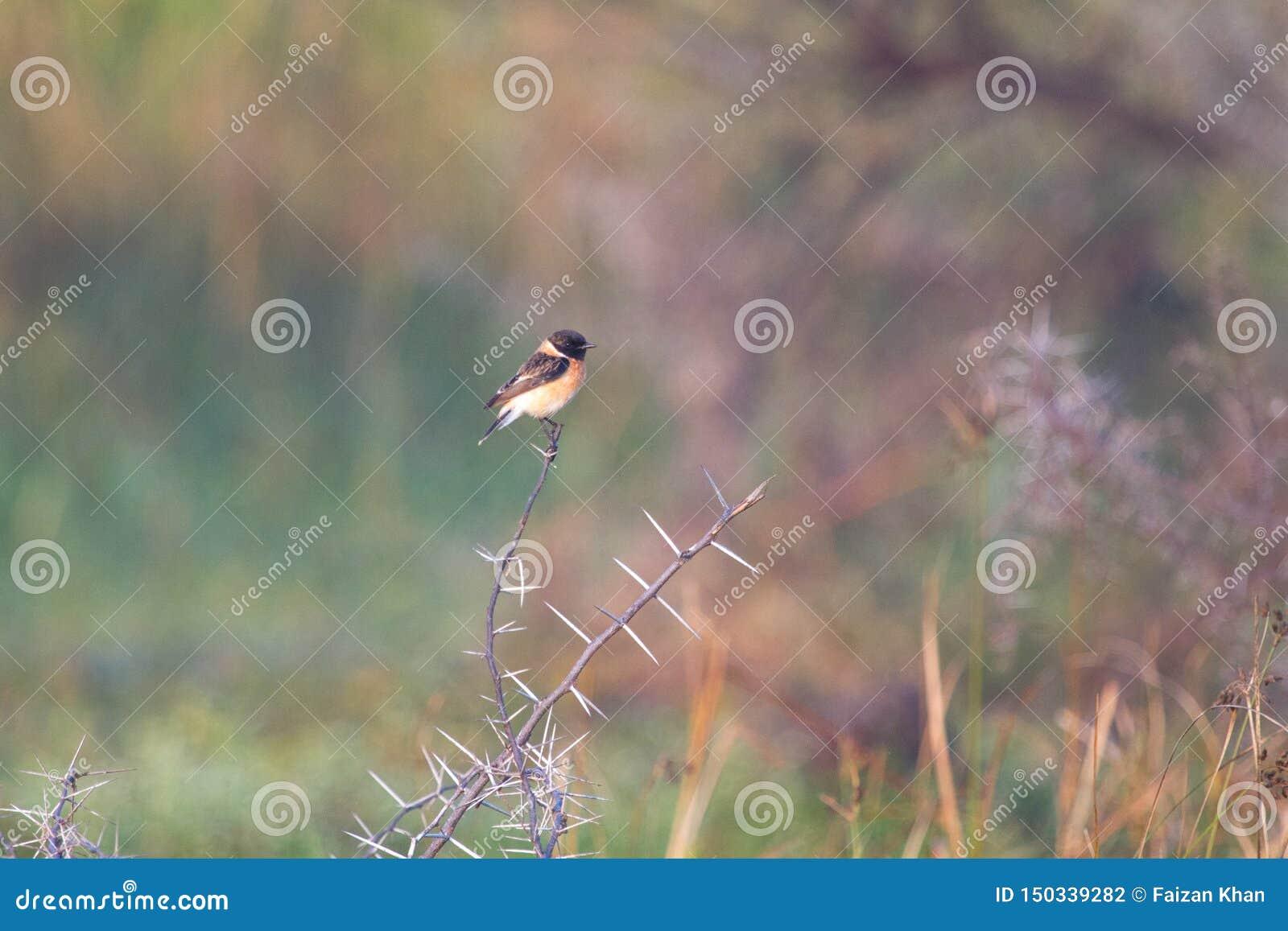 Oiseau migrateur de traquet sibérien de Sibérie