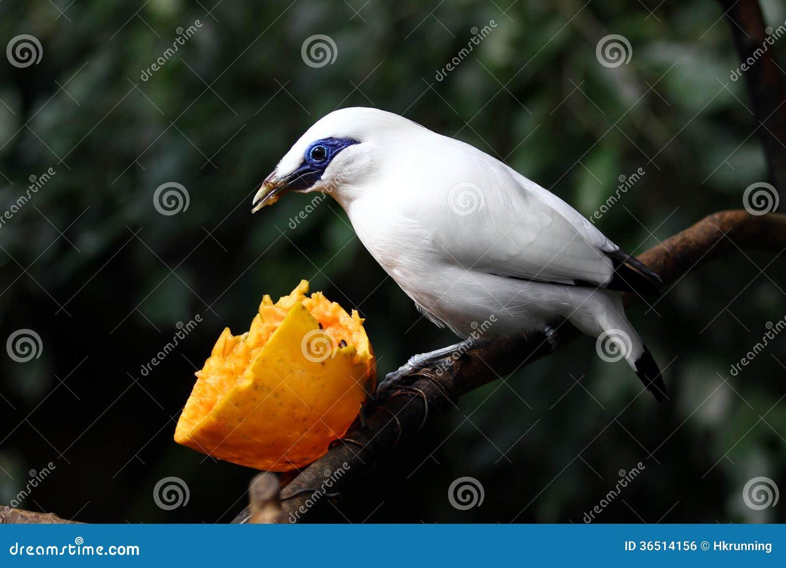 Oiseau mis en danger --- Étourneau de Bali