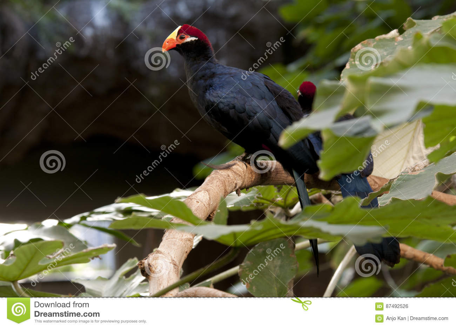 Oiseau noir avec le bec orange photo stock image 87492526 for Oiseau noir bec jaune