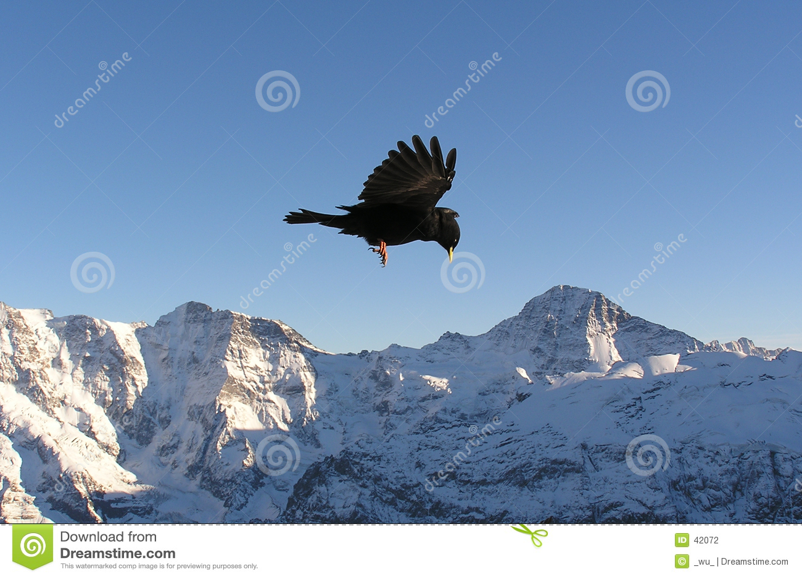 Oiseau noir dans les Alpes