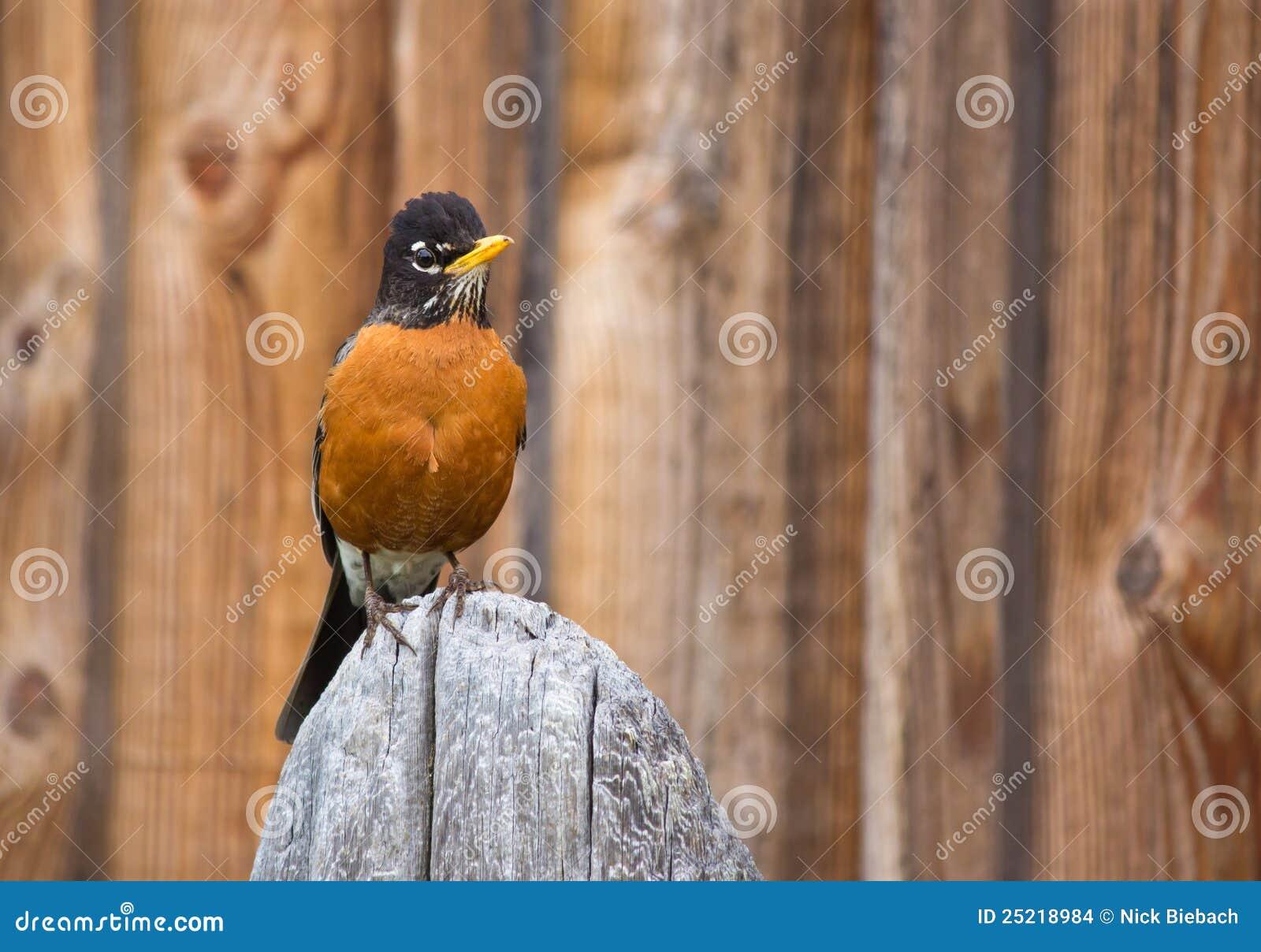 Oiseau orange de Robin été perché sur le poteau en bois
