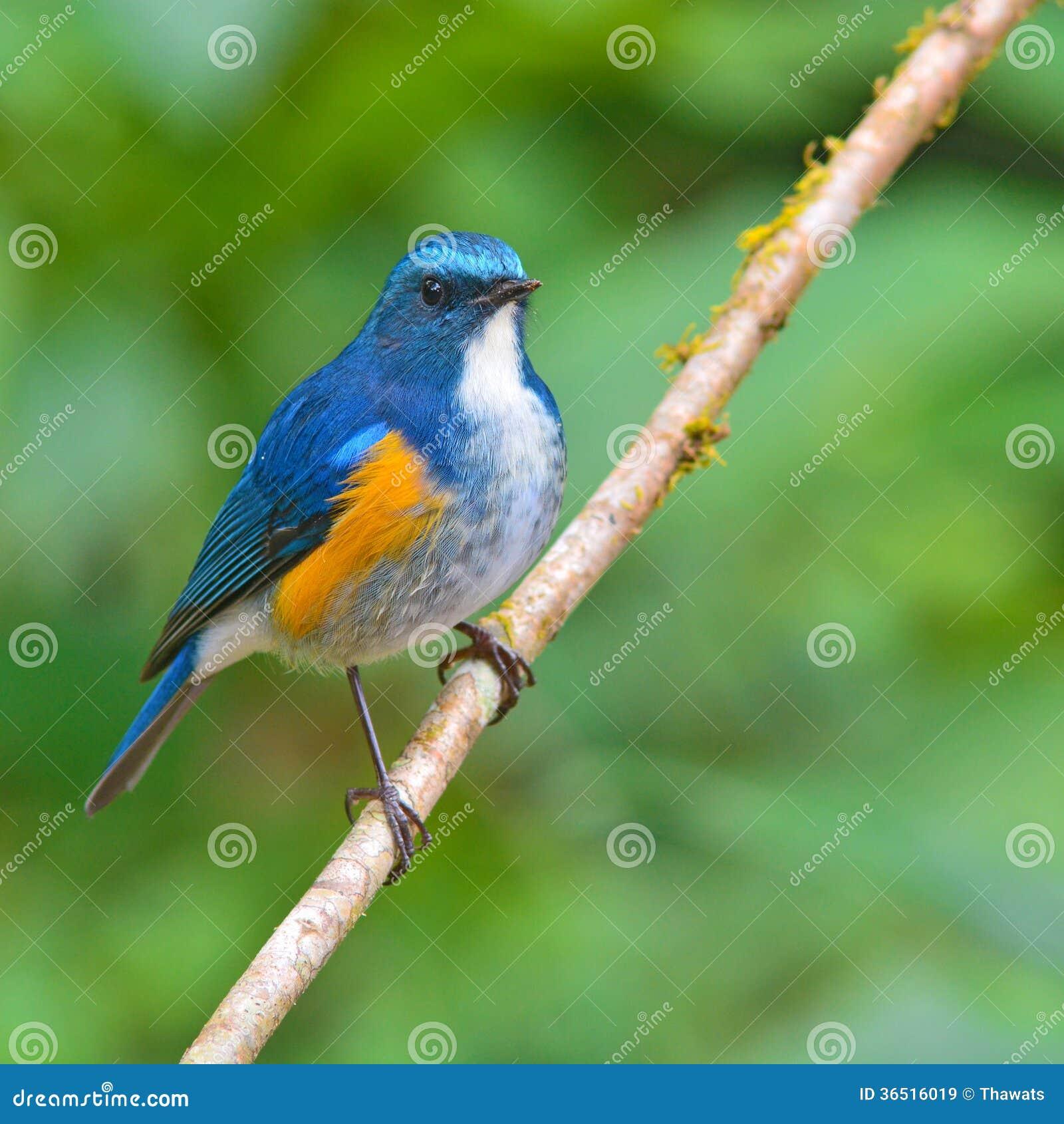 Oiseau Orange-flanqué de Bush Robin