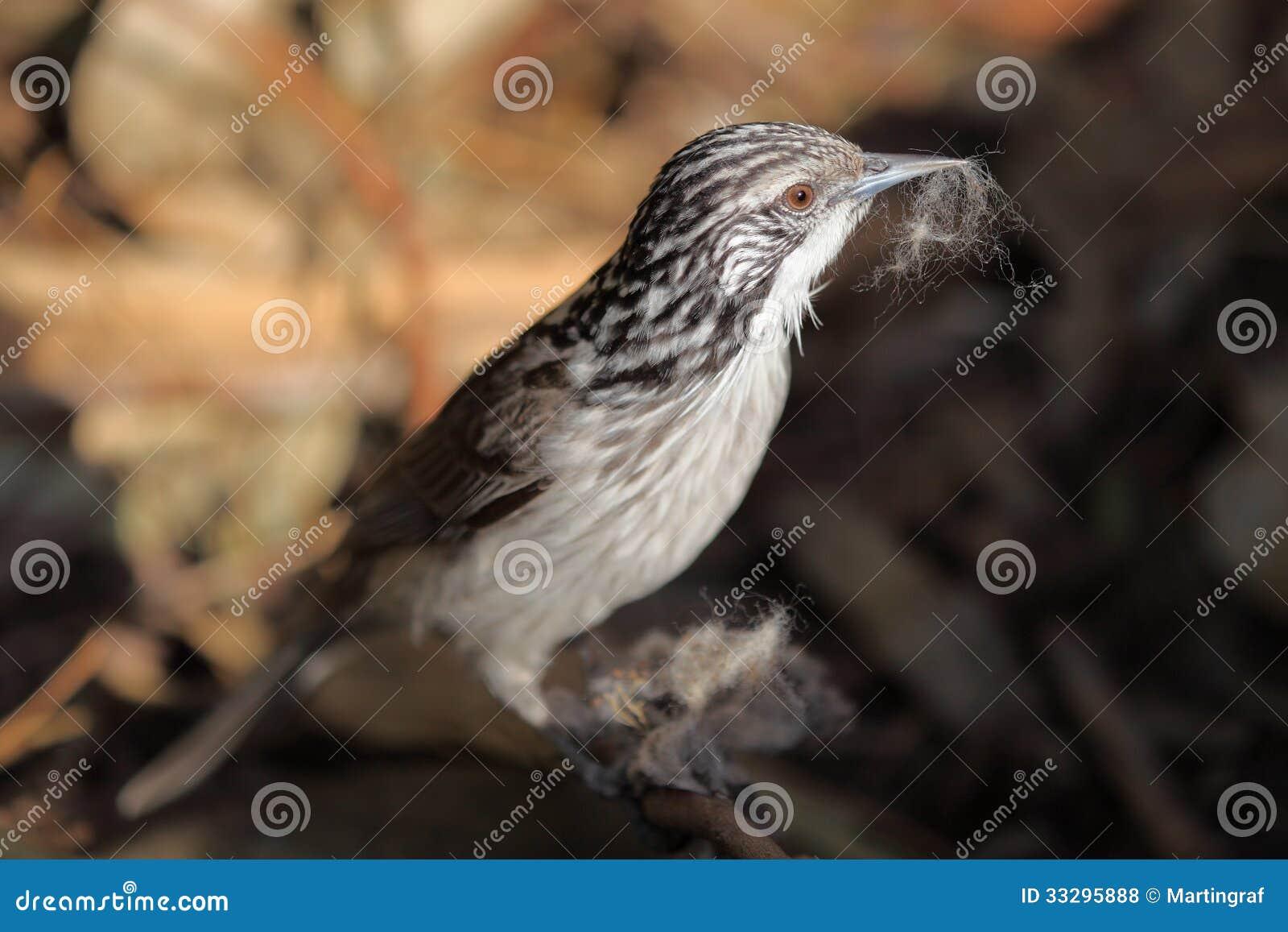 Oiseau rayé de Honeyeater