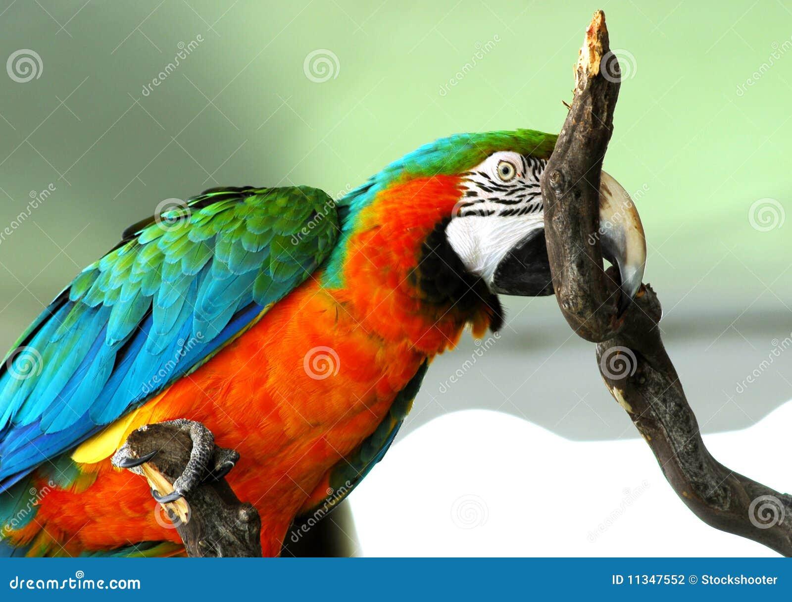 Oiseau rouge d or de Macaw d isolement