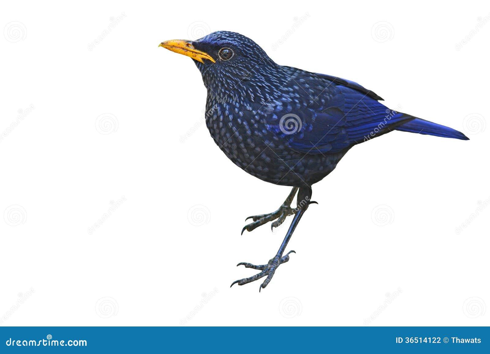 Oiseau siffleur bleu de grive