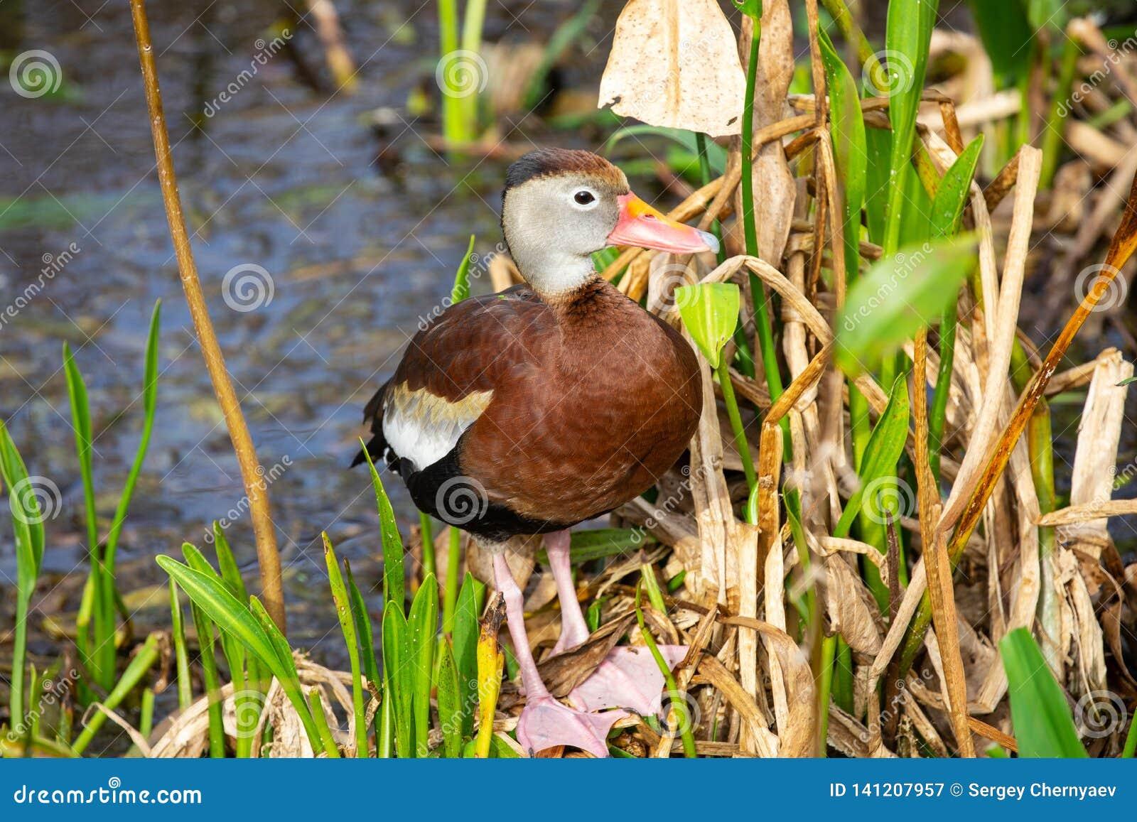 Oiseau siffleur Noir-gonflé de canard florida LES Etats-Unis