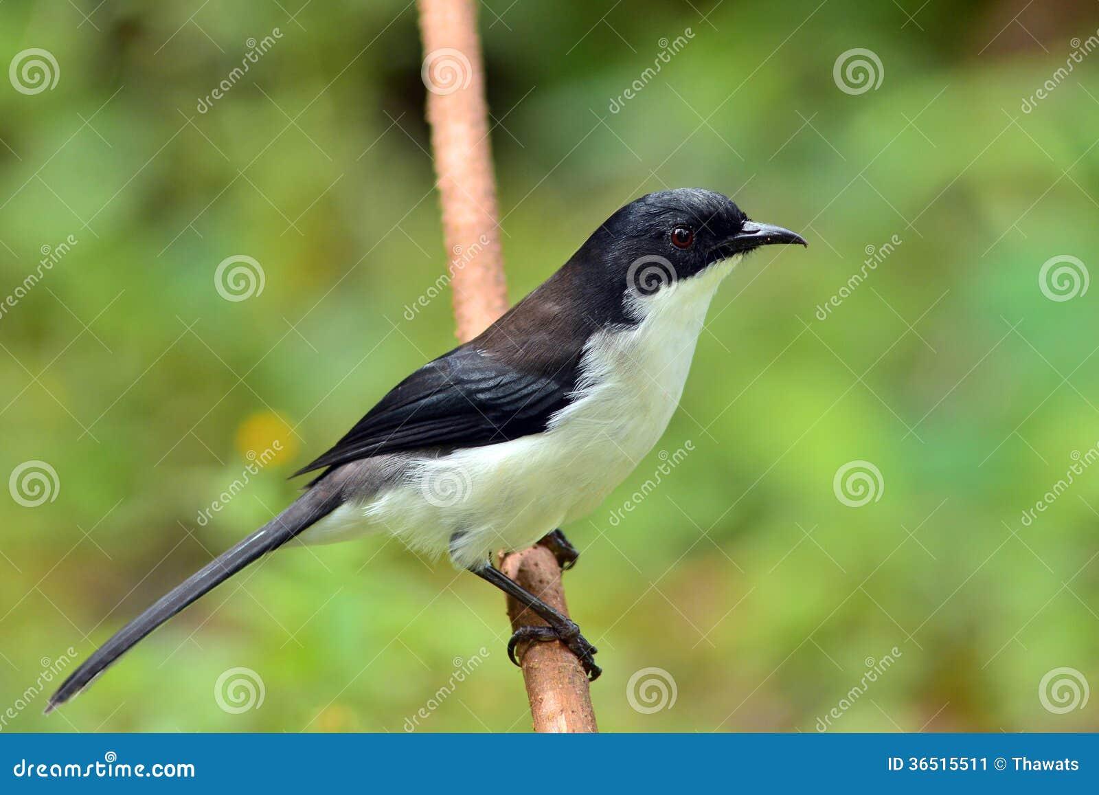 Oiseau soutenu par foncé de Sibia