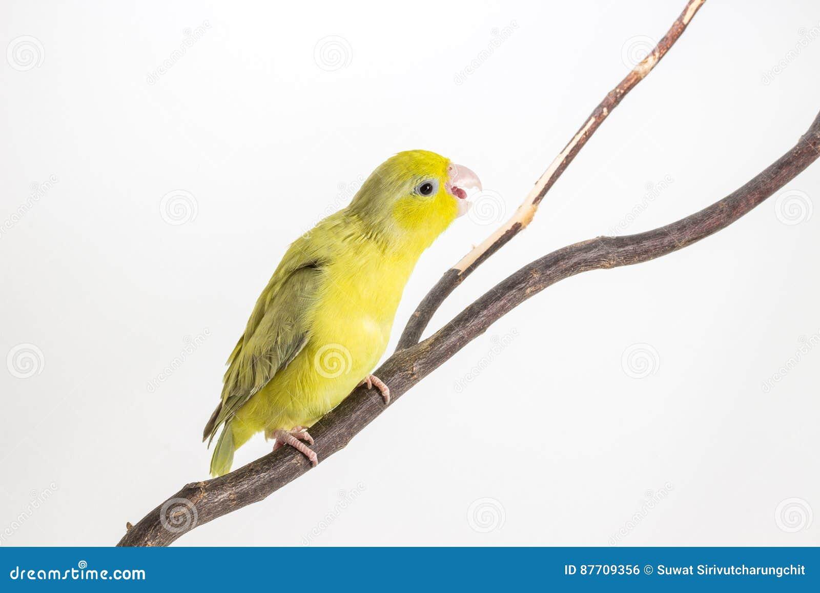 Oiseau vert en pastel de Forpus