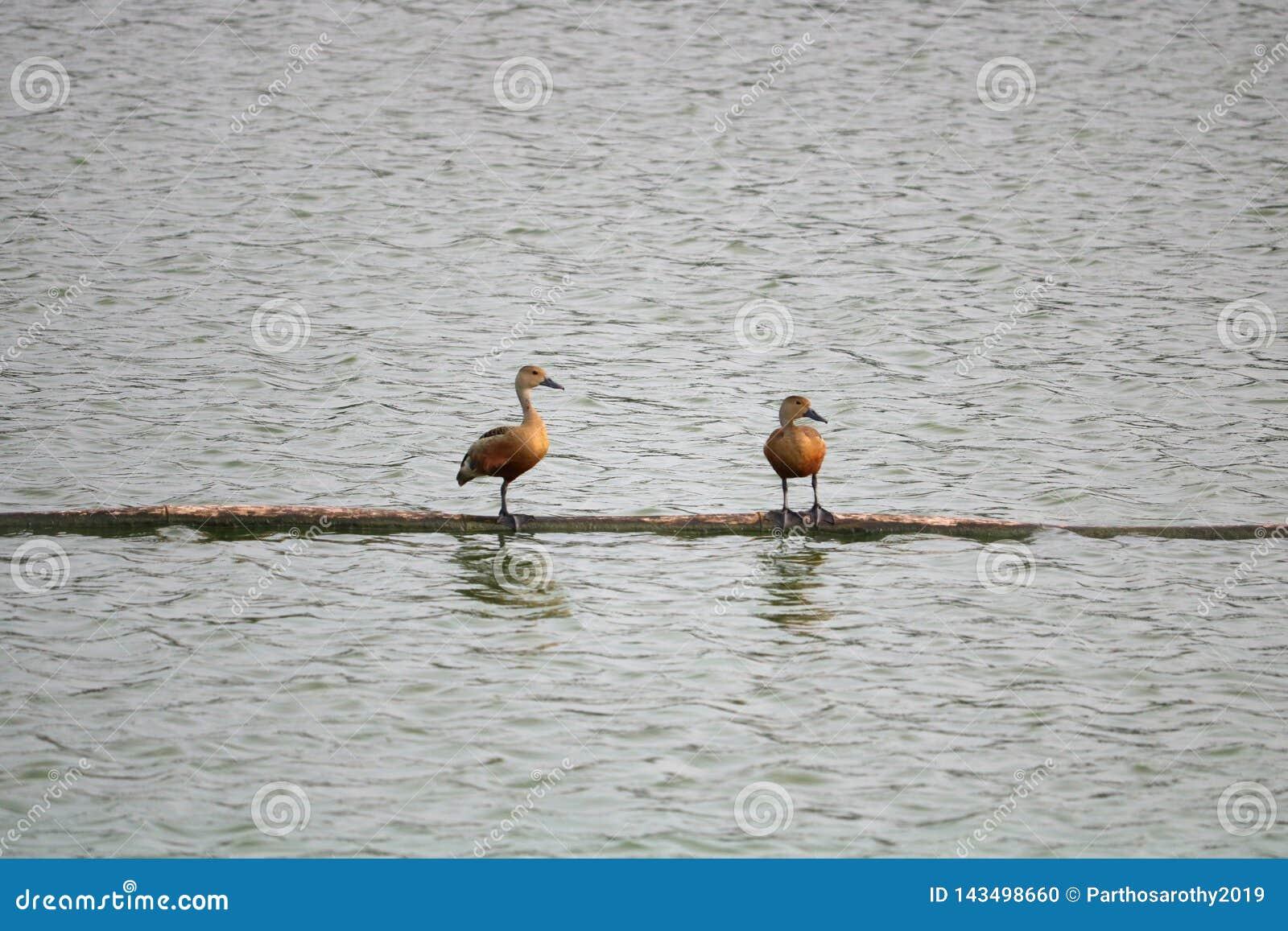 Oiseaux de couleur brune se reposant au-dessus de l eau