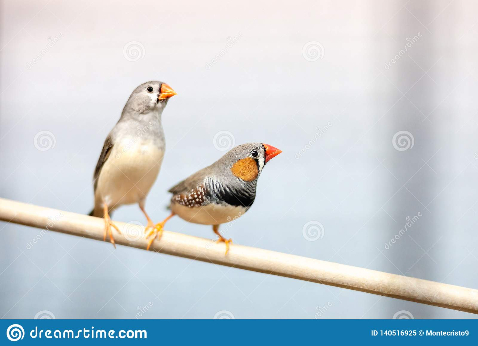 Oiseaux de pinson à la branche beaux animaux familiers domestiques colorés