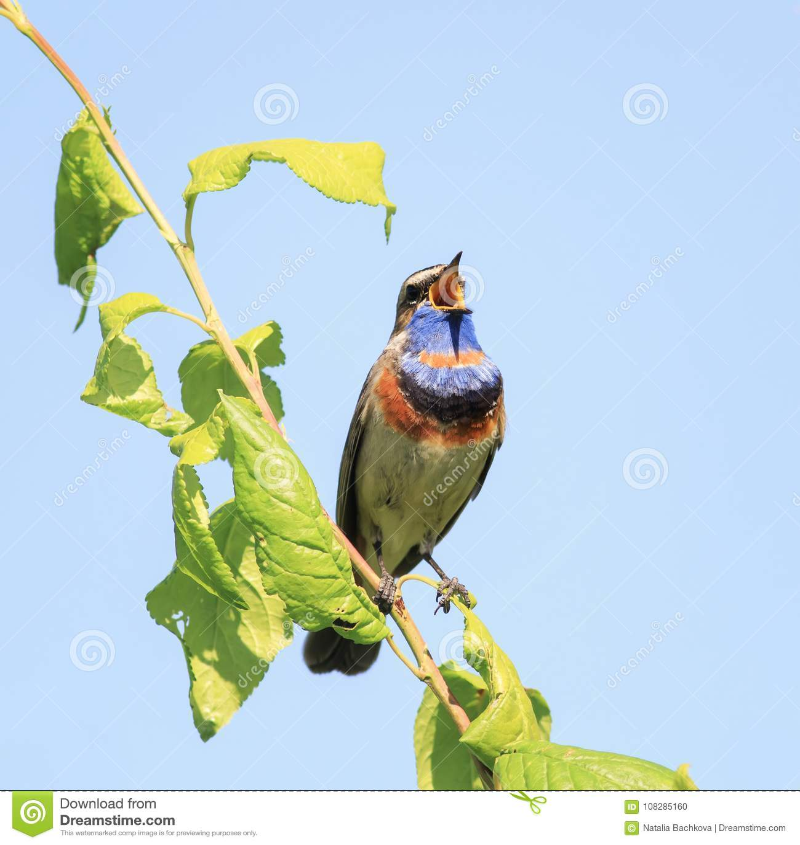 Oiseaux masculins de gorge bleue avec le plumage lumineux, chanson de chant dans t