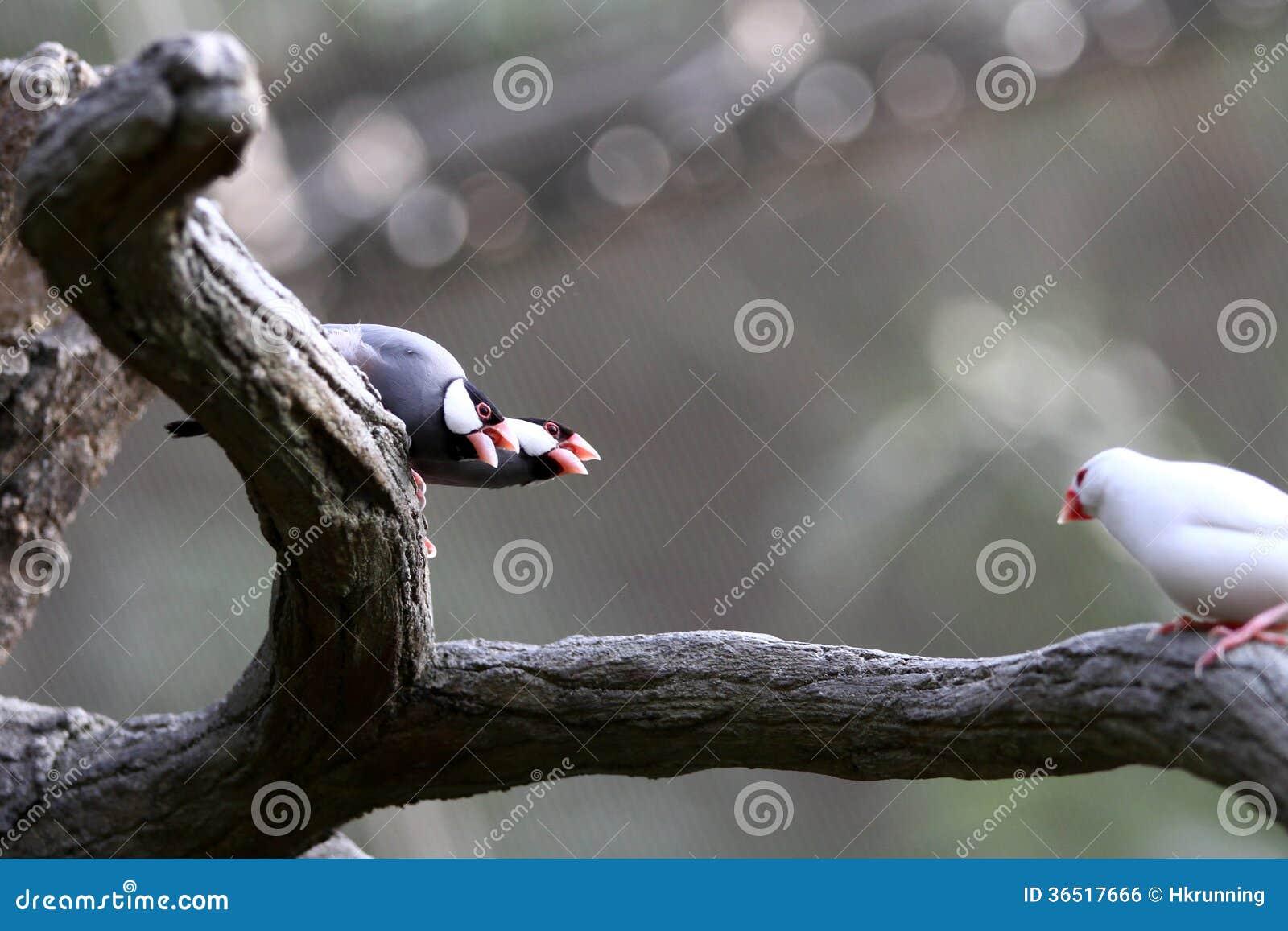 Oiseaux mis en danger --- moineau de Java
