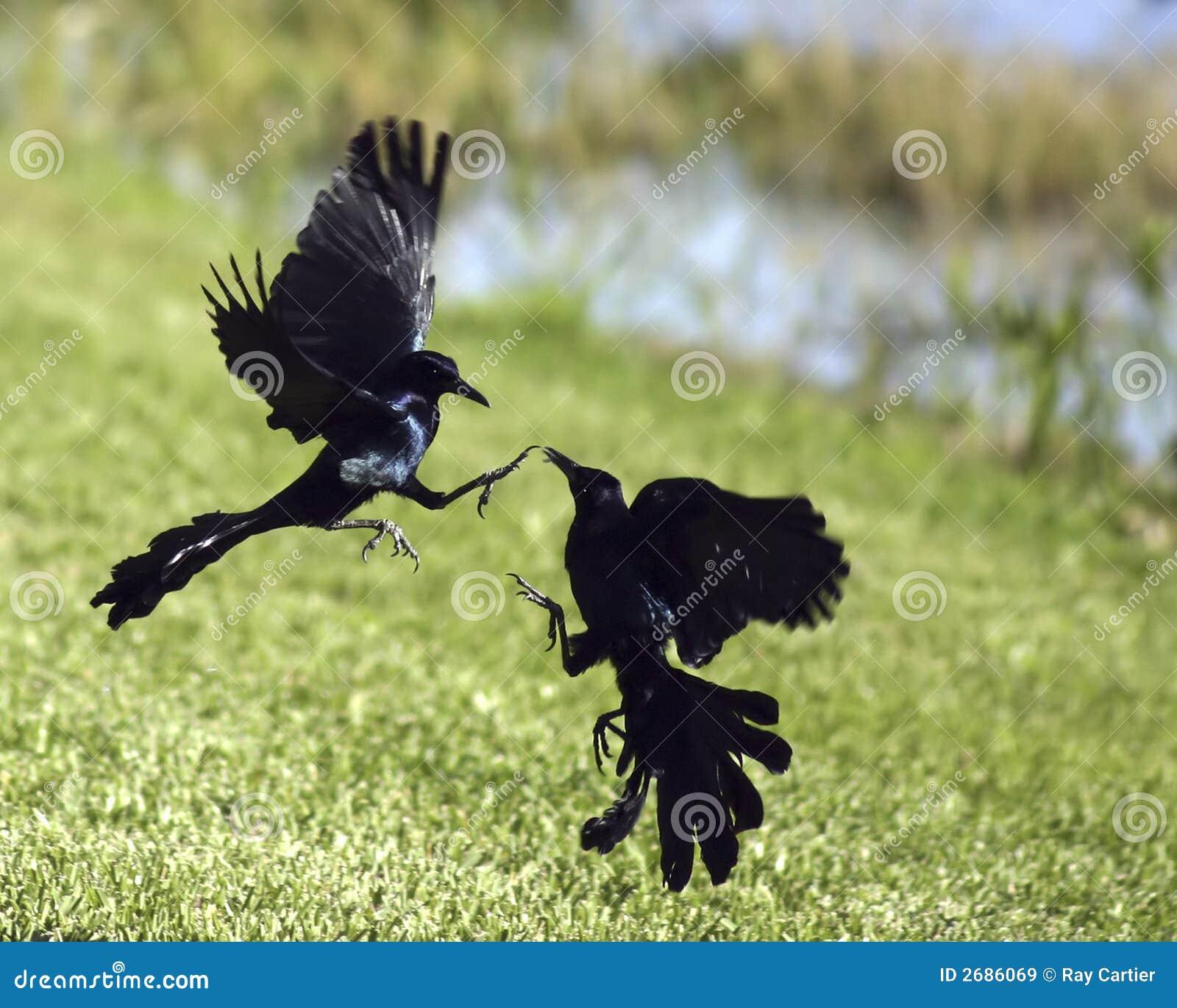 https://thumbs.dreamstime.com/z/oiseaux-noirs-de-combat-2686069.jpg