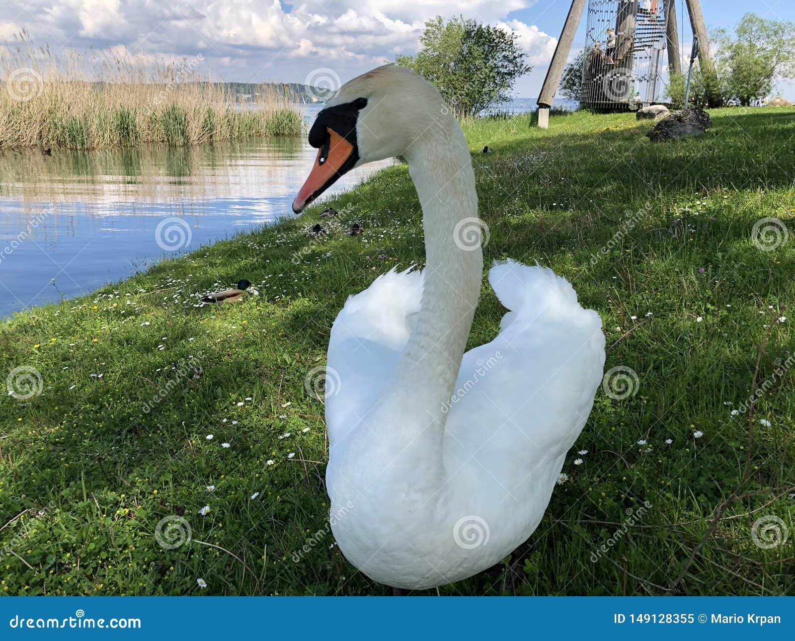Oiseaux sur le Lac de Constance dans Kreuzlingen ou matrice Voegel oder Vogel AM Bodensee