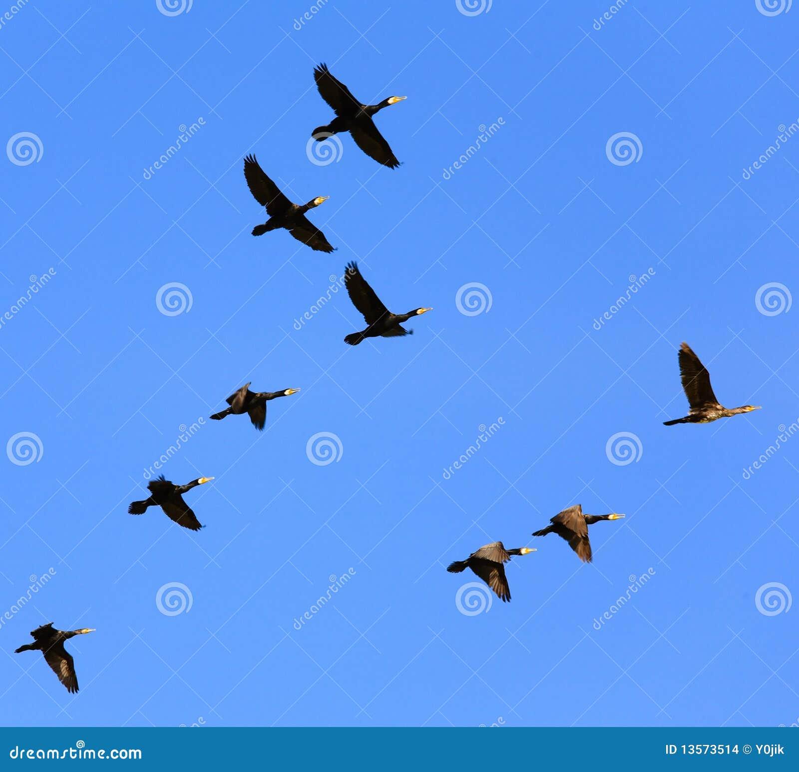 Oiseaux volant dans le ciel