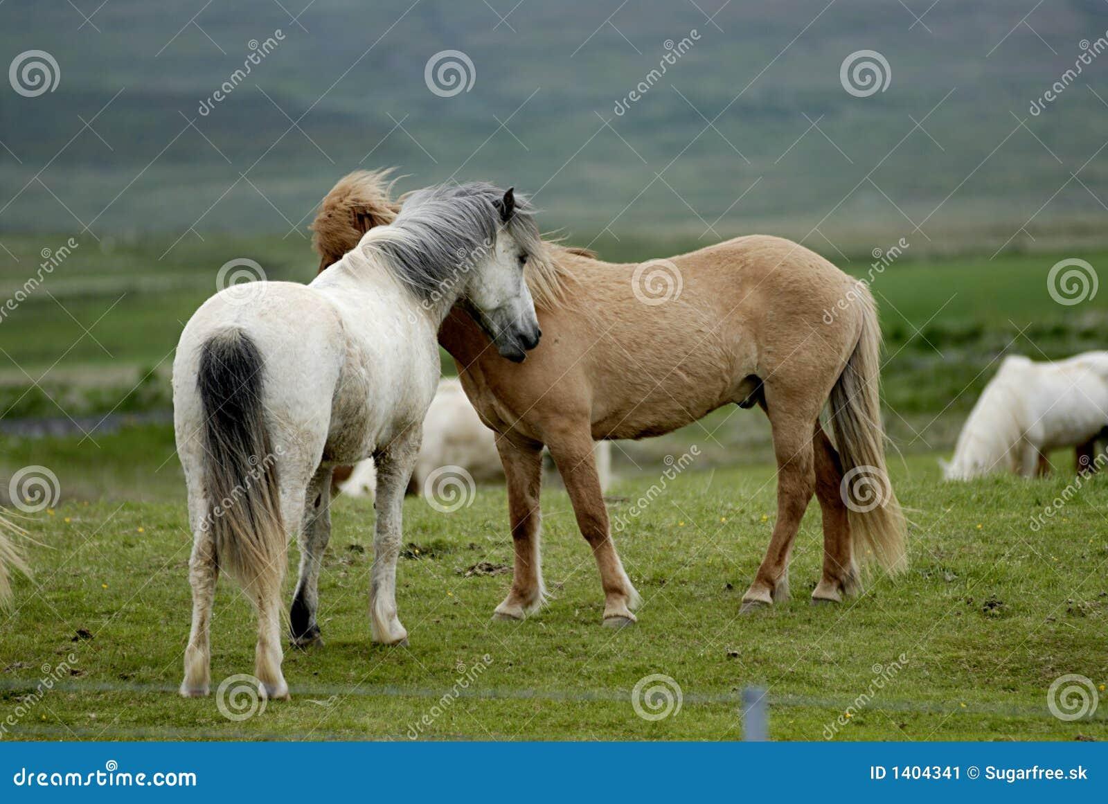 Oisillon islandais de chevaux entre eux