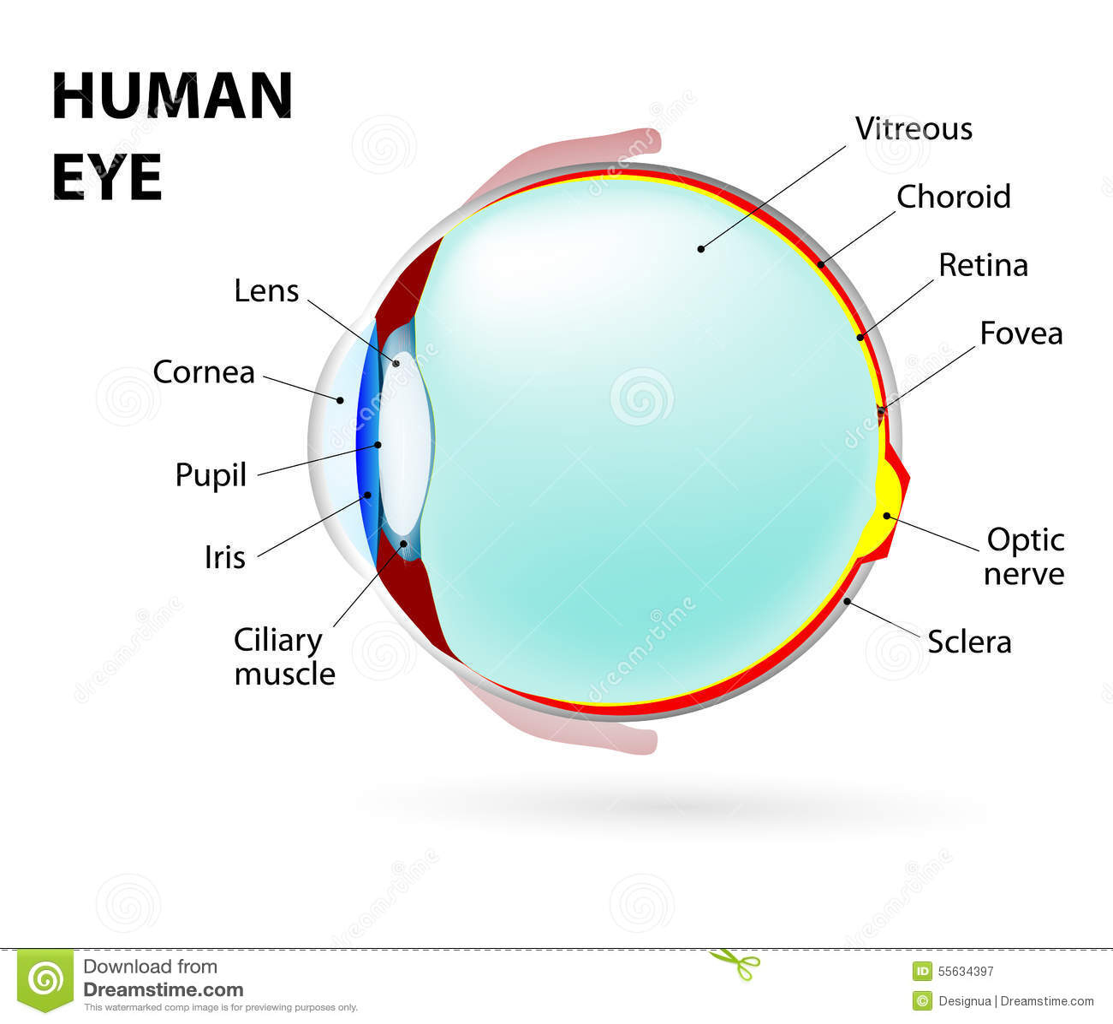 Ojo Anatomía humana ilustración del vector. Ilustración de cuidado ...