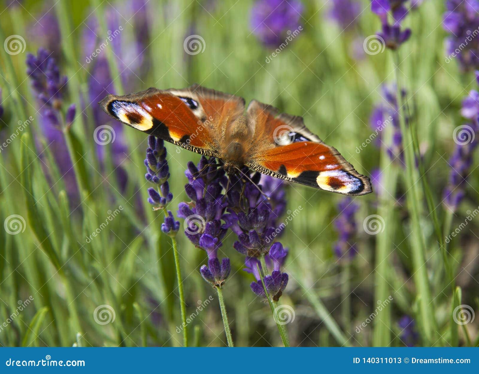 Ojo brillante del pavo real de la mariposa del verano en las flores púrpuras delicadas de la lavanda