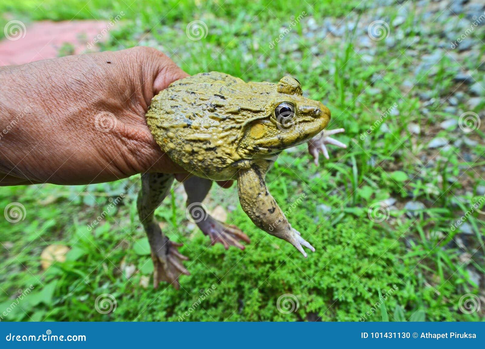 rana con parasito en el ojo