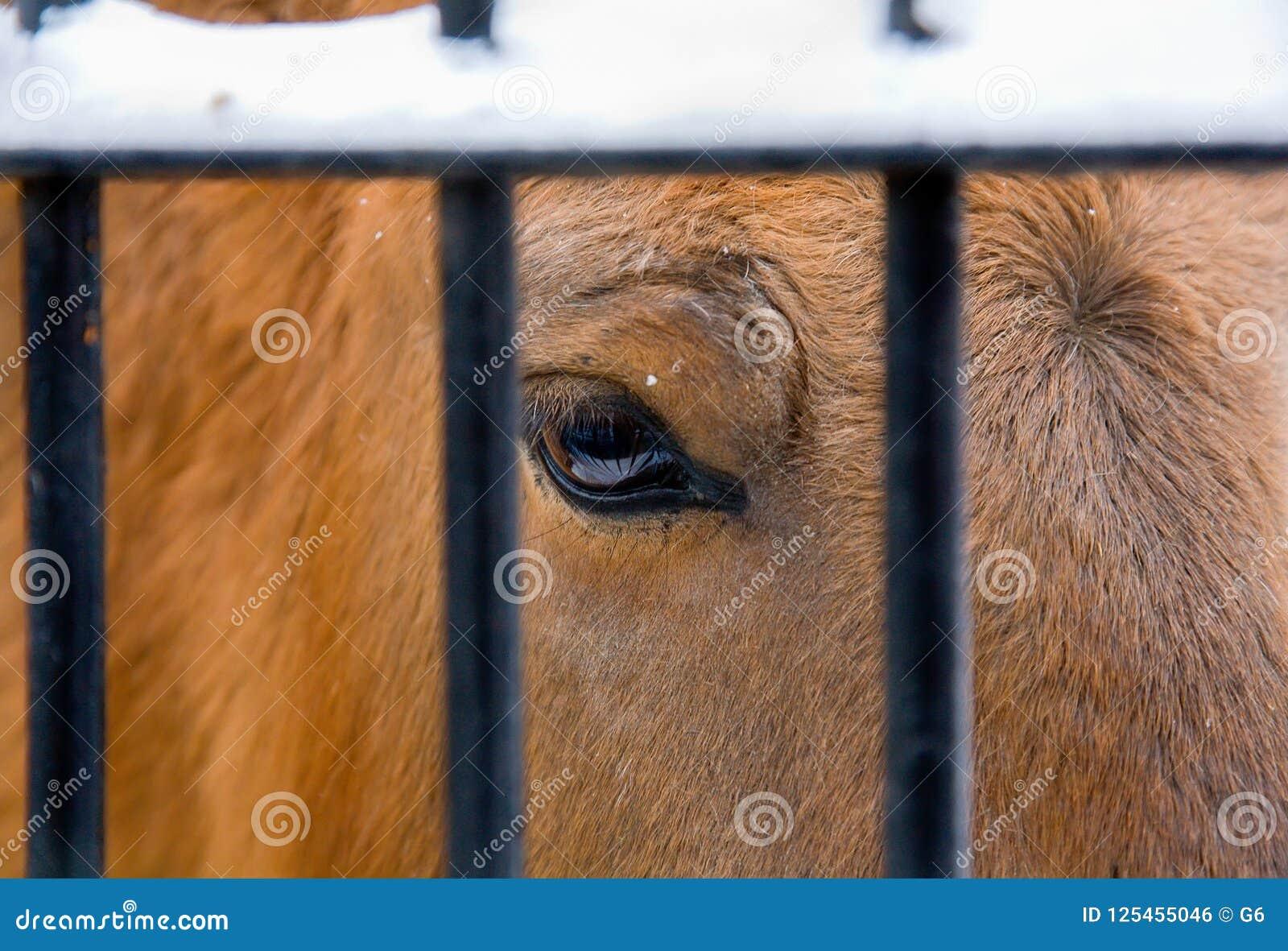 Ojo triste de un caballo en un parque zoológico detrás de las barras de metal