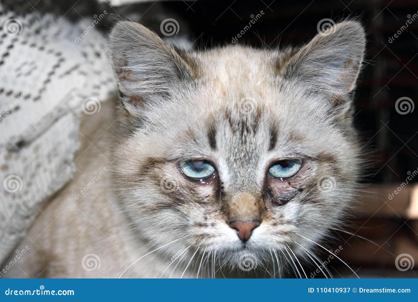 infeccion ojo gatito