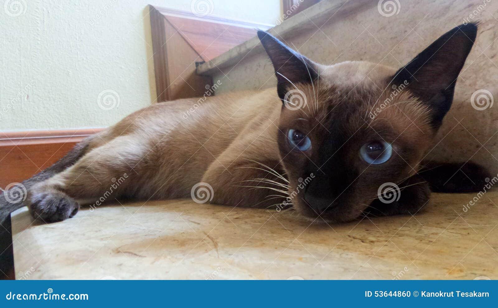 Ojos Redondos Grandes Del Gato Siamés Que Caen Para Dormir Foto De