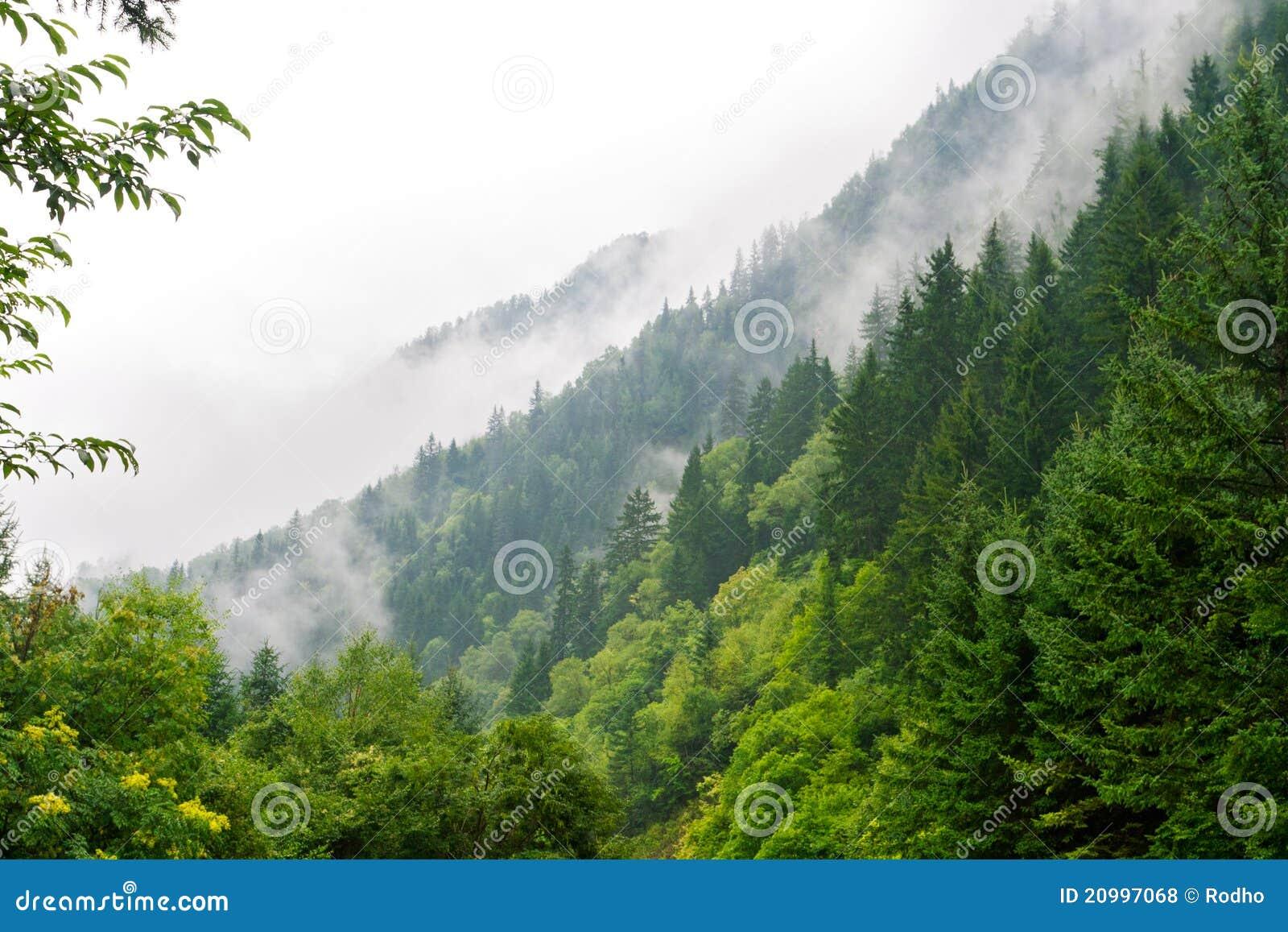 Okładkowa lasowa mgły ranek sosna
