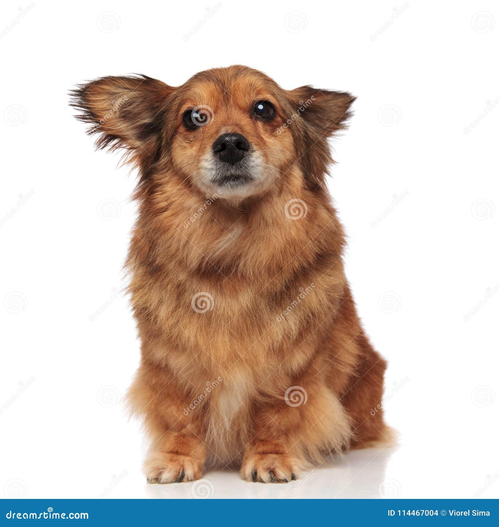 Okaleczający brown metis pies robi szerokim oczom