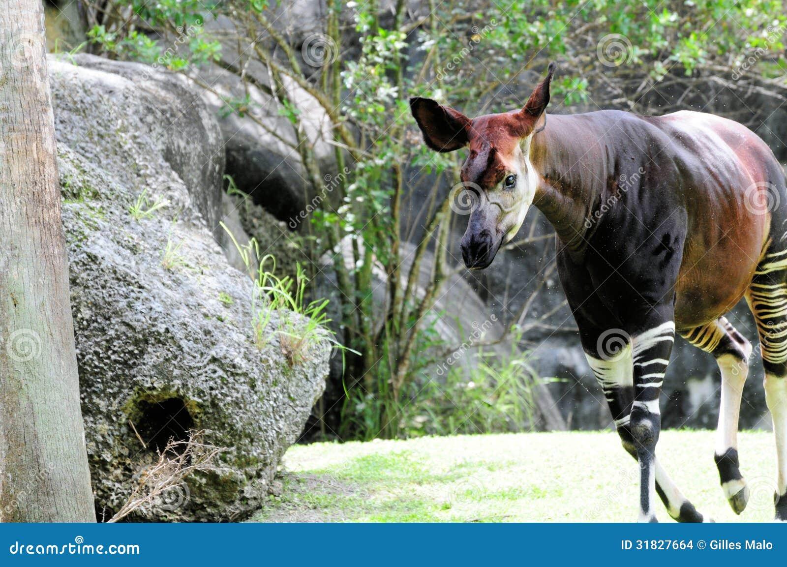 okapi walking in zoo stock images image 31827664
