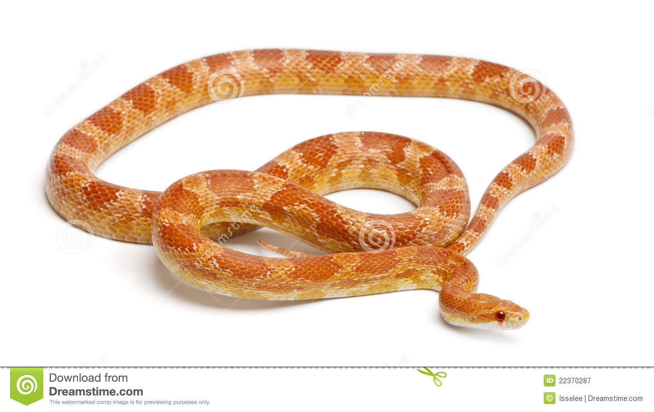 Corn Snakes for Sale  Reptiles for Sale