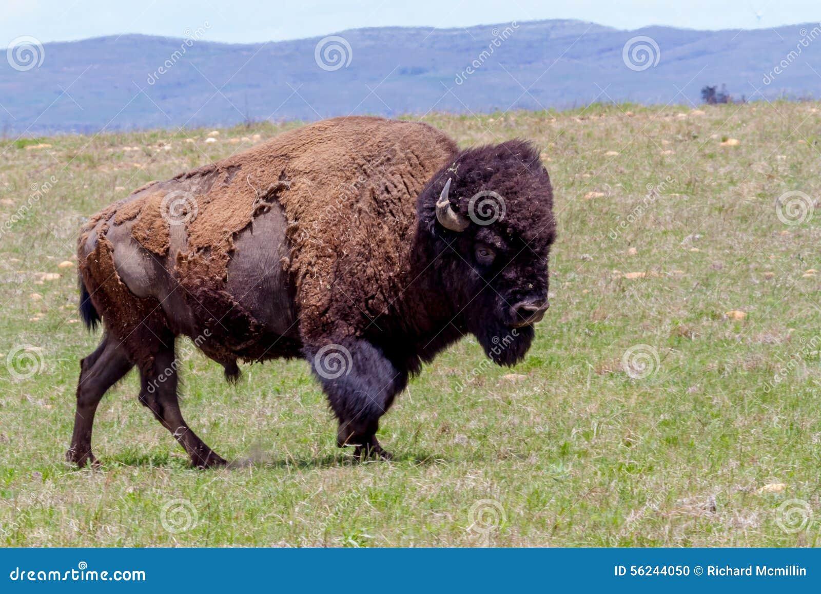 Bison Oklahoma Oklahoma Buffalo, Or A...