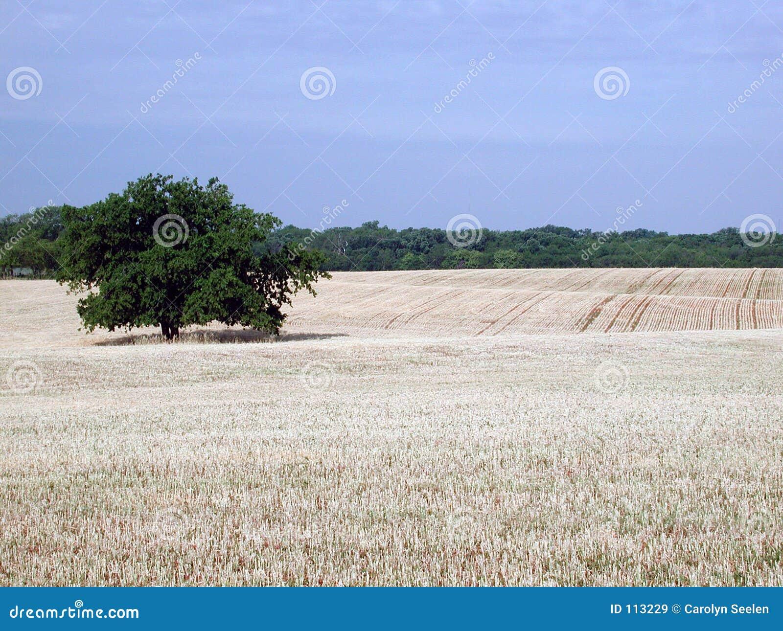 Oklahoma Wheatfield
