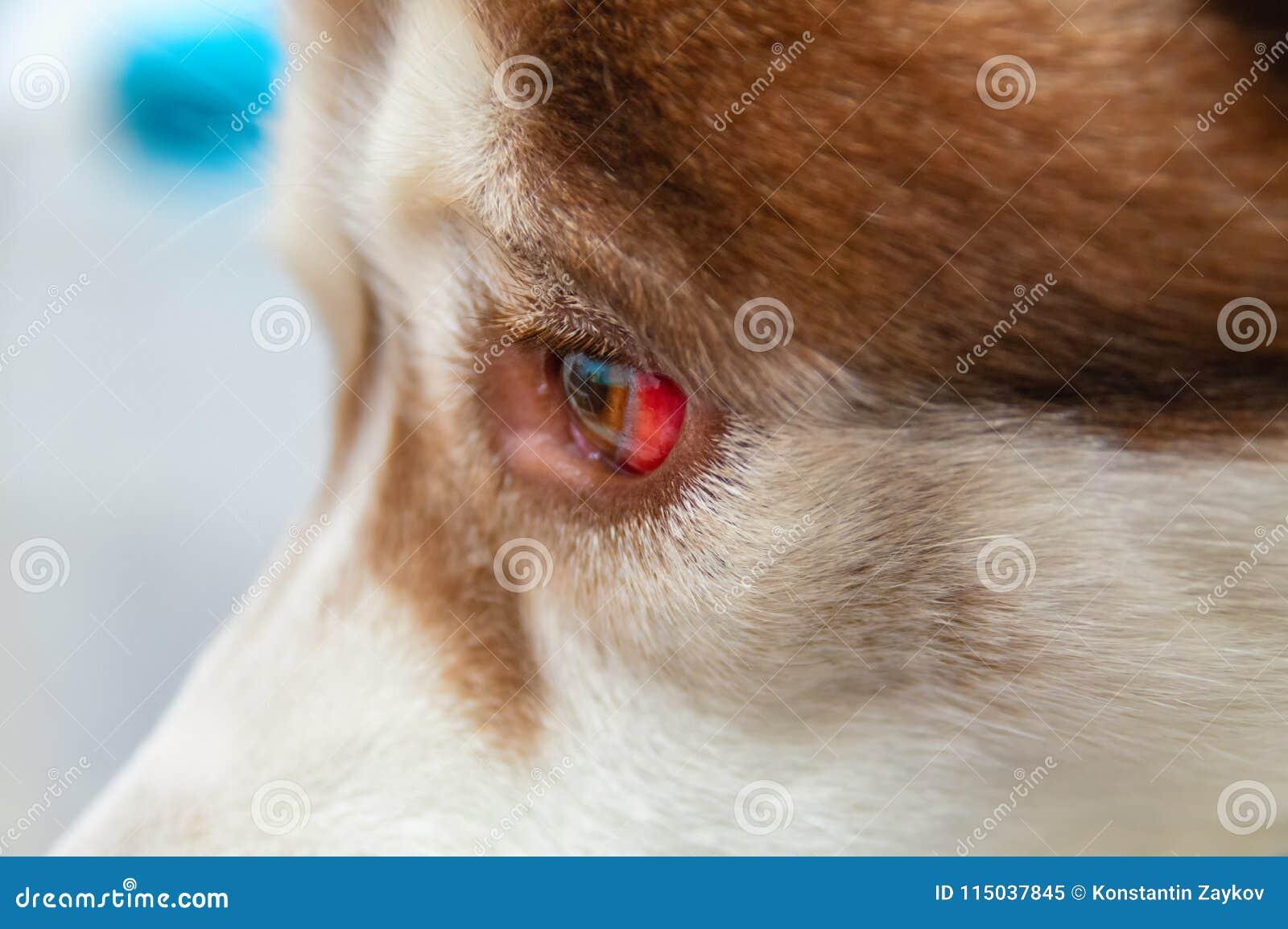 Oko pies z krwotokiem wynikający od ciosu głowa Syberyjski husky dostać pod samochodem, pourazowy uszkodzenie mózgu