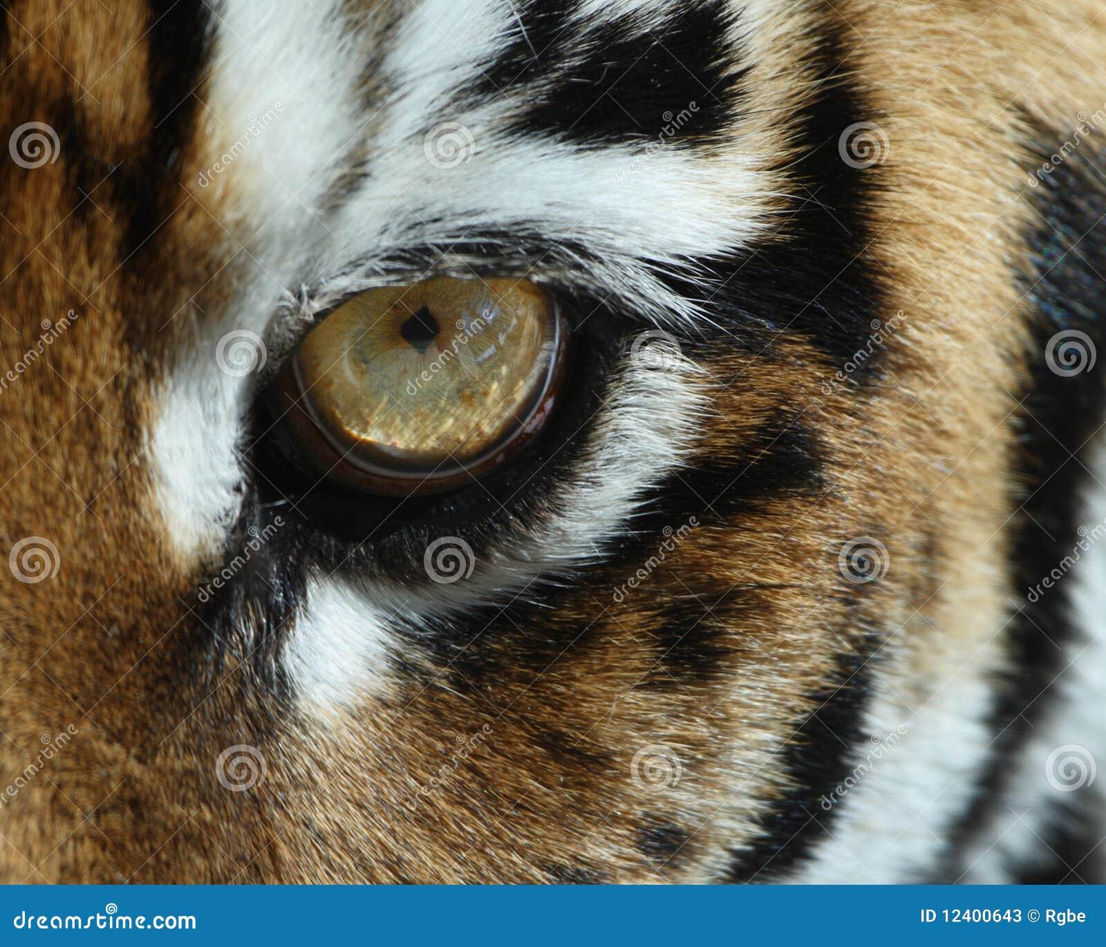 Oko tygrys