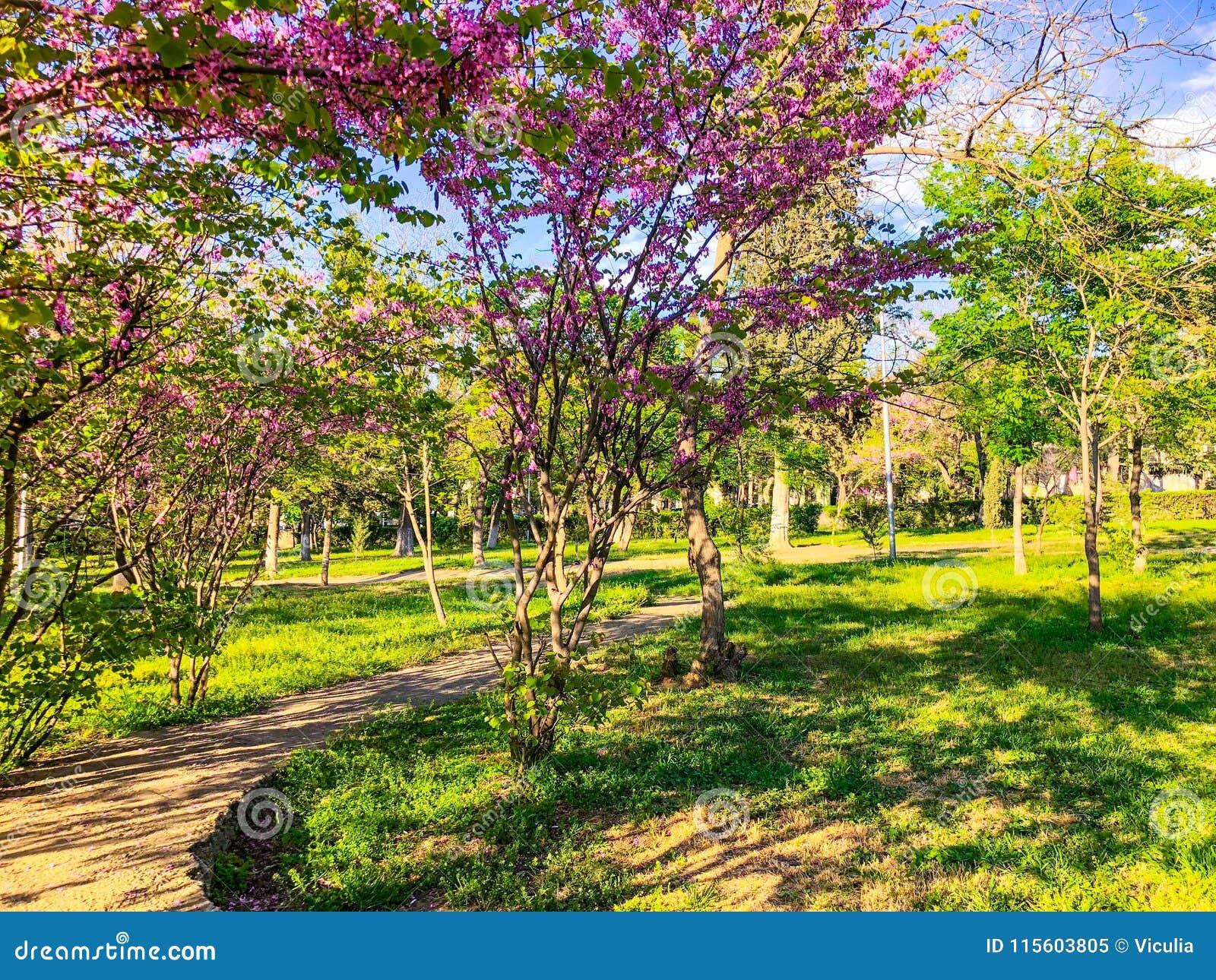 Okwitnięć drzewa w miasto parku w wiośnie Natury scena z słońcem w słonecznym dniu